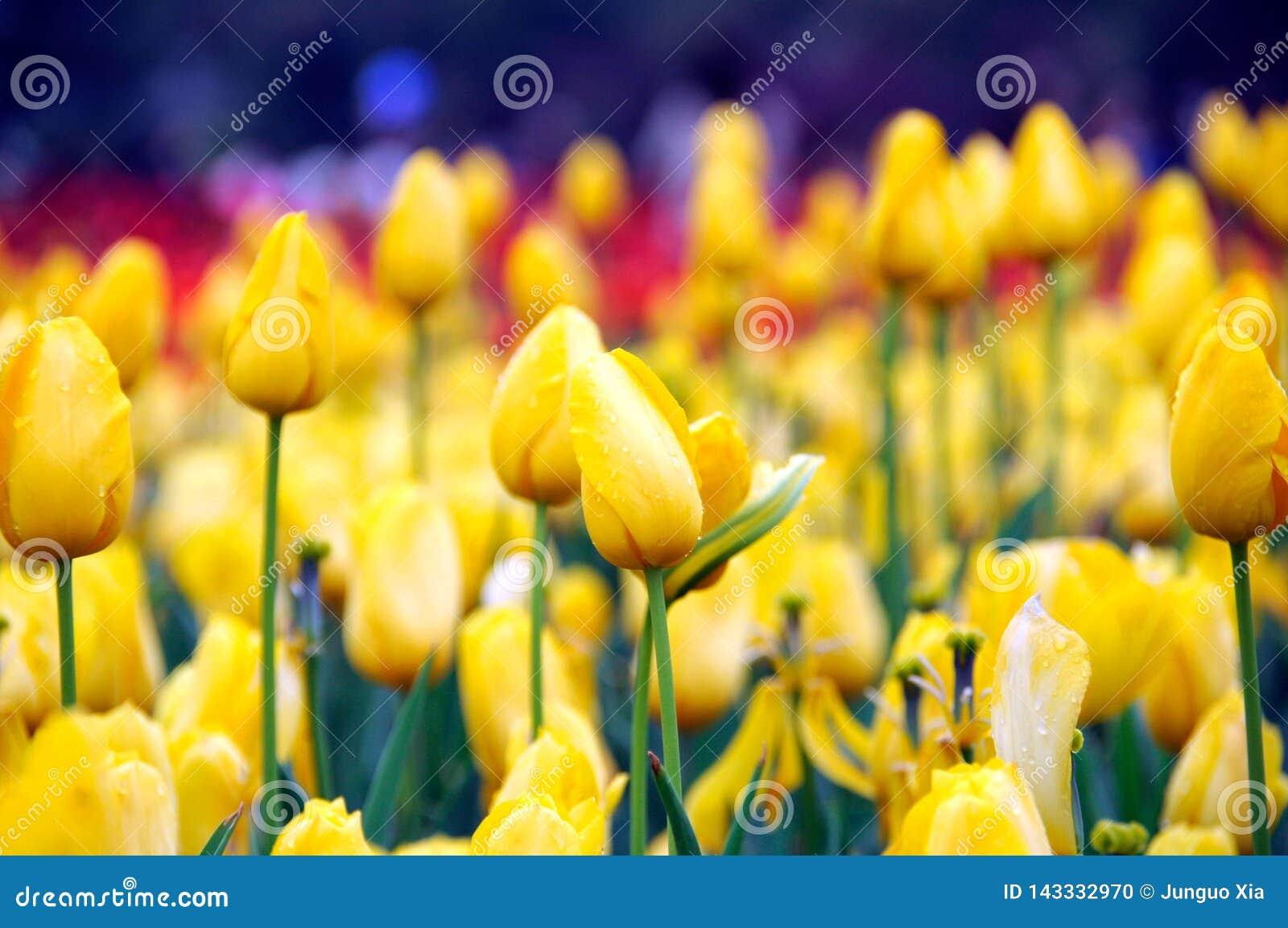 Belle et élégante tulipe après pluie