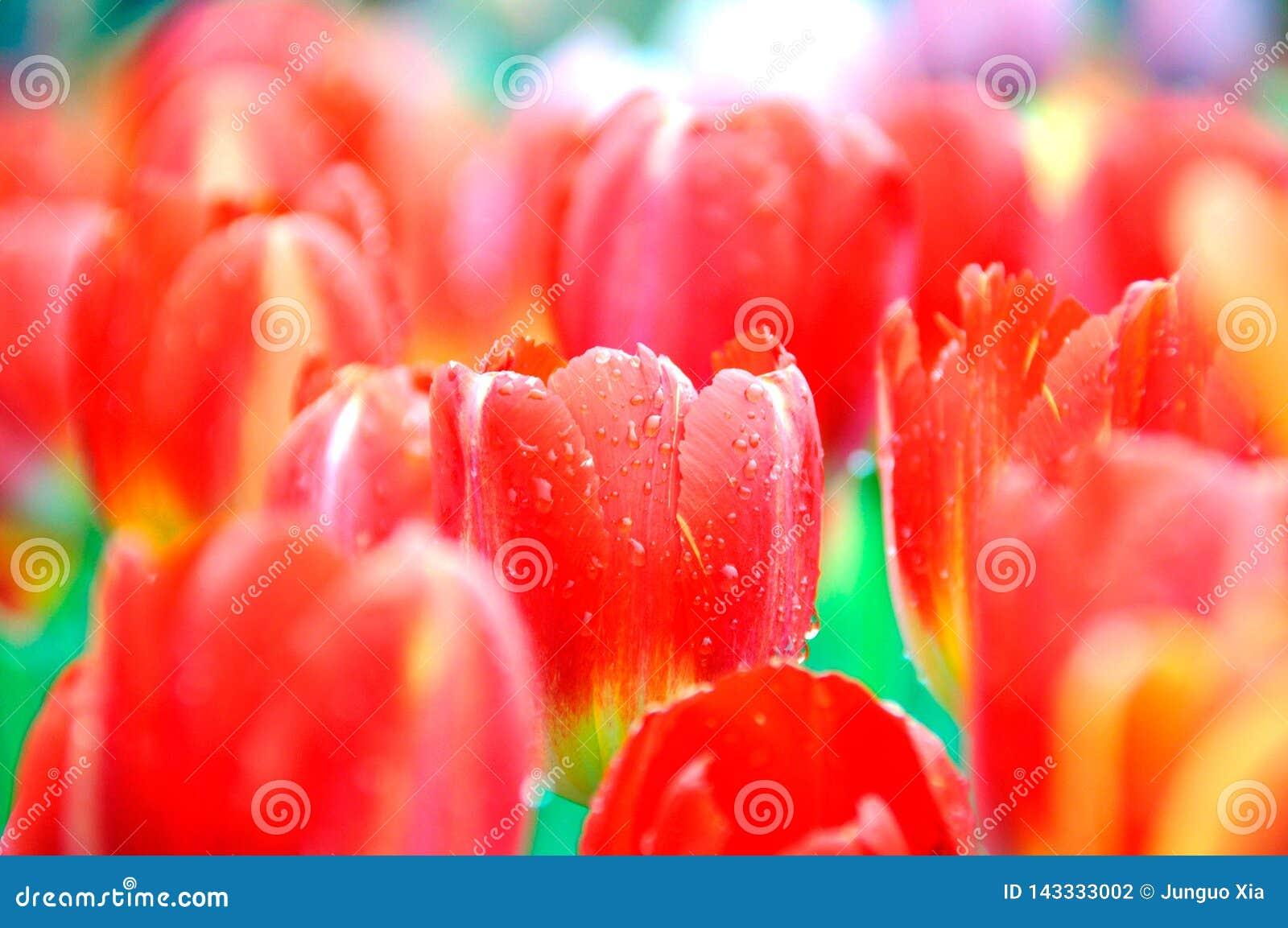 Belle et élégante tulipe rouge après pluie