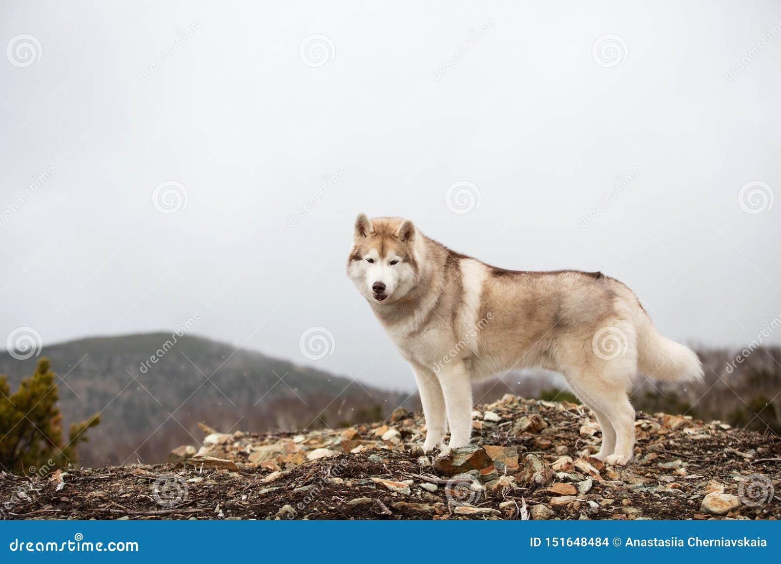 Belle et heureuse position enrouée sibérienne beige et blanche de chien sur la montagne Un chien sur un fond naturel