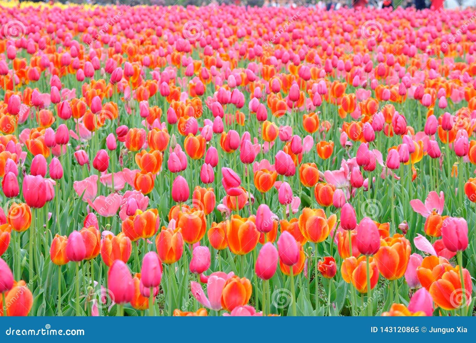 Belle et ?l?gante tulipe rouge apr?s pluie