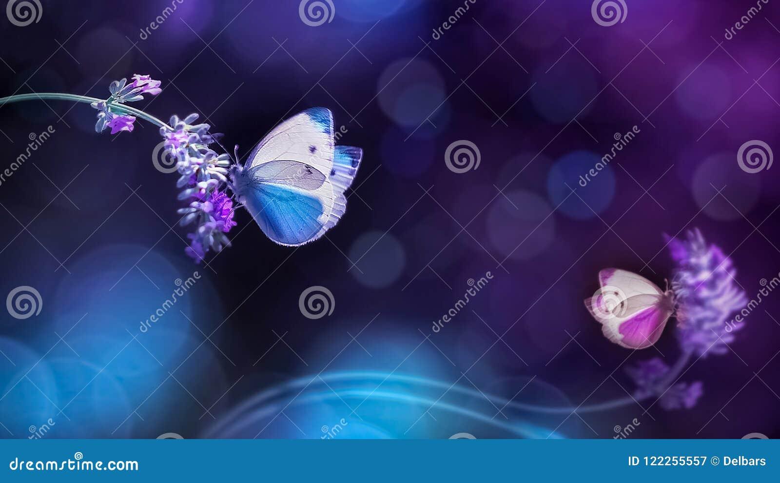 Belle farfalle blu bianche sui fiori di lavanda Immagine naturale della molla di estate nei toni blu e porpora