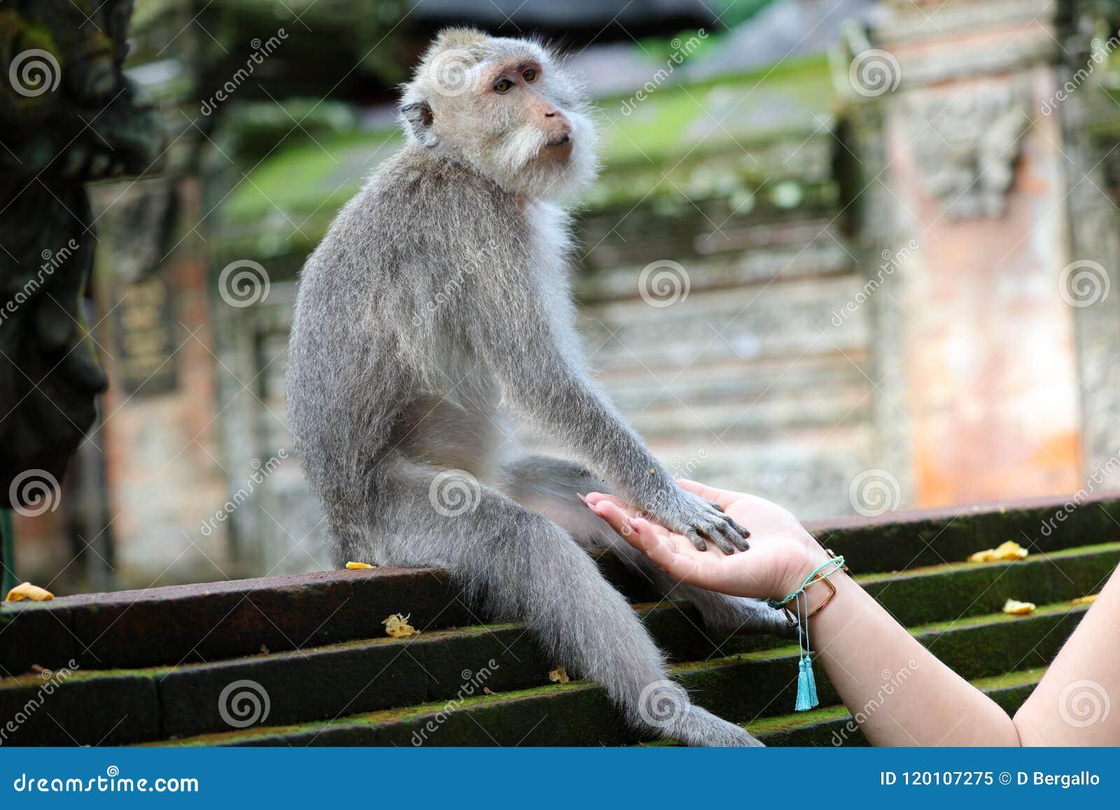 Belle fille tenant des mains avec le singe à la forêt de singes dans Bali Indonésie, jolie femme avec l animal sauvage