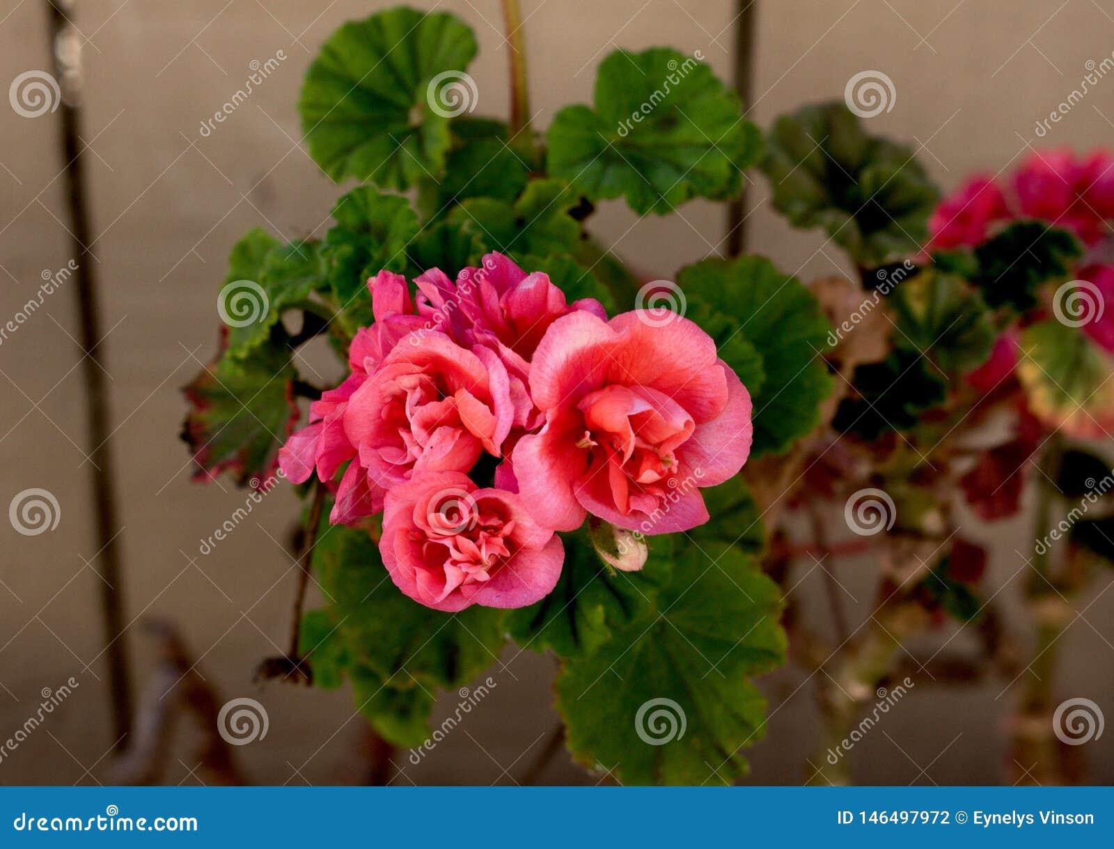 Belle fin rose de fleur