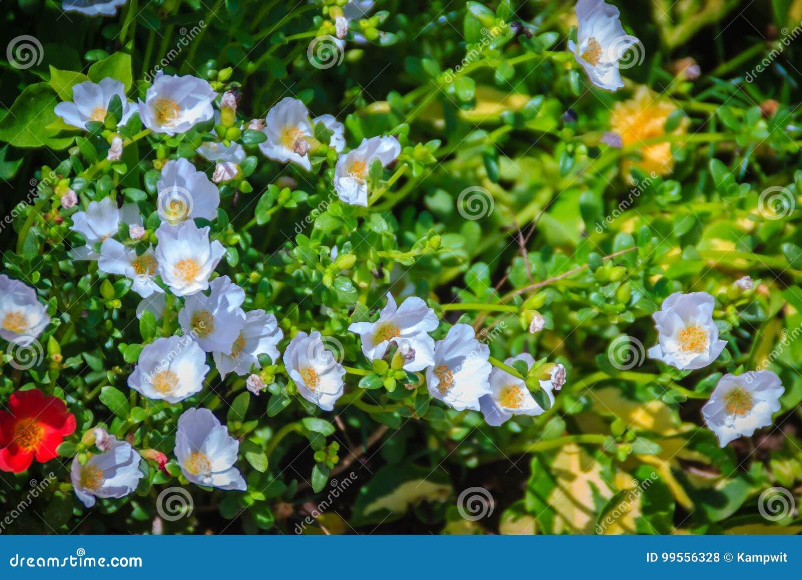 Belle Fleur Blanche D Oleracea De Portulaca Egalement Connue Sous
