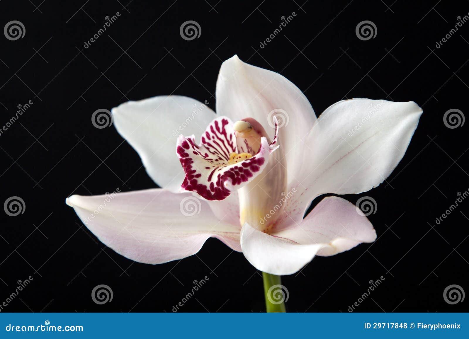 reine noire avec la fleur noire photo stock - image: 58913832