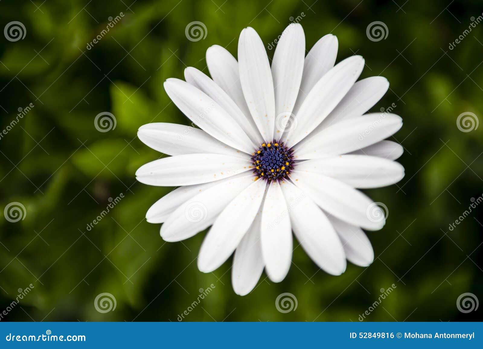 Belle fleur blanche et pourpre dans le jardin photo stock for Fleurs dans le jardin