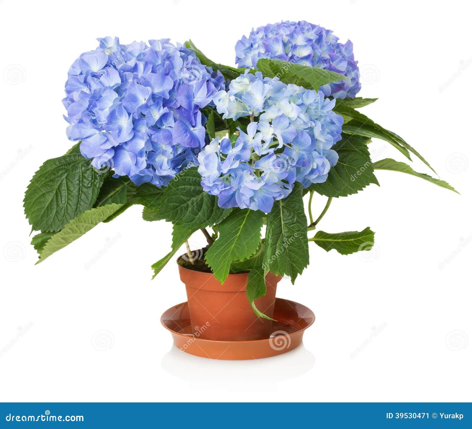 Belle fleur bleue d 39 hortensia photo stock image 39530471 - Terre pour hortensia bleu ...