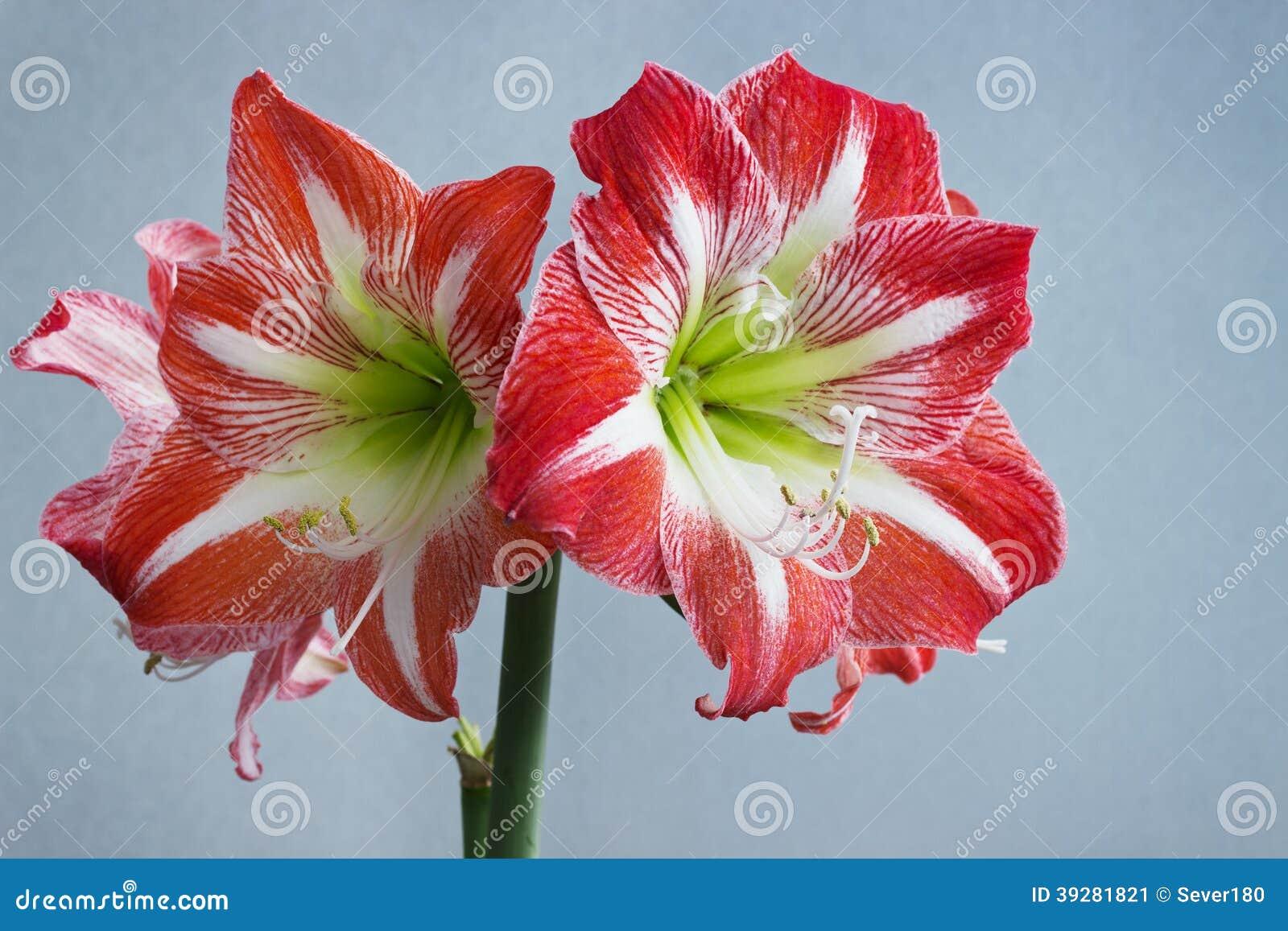 Belle fleur d 39 amaryllis de fleurs au printemps image stock for Amaryllis fleurs