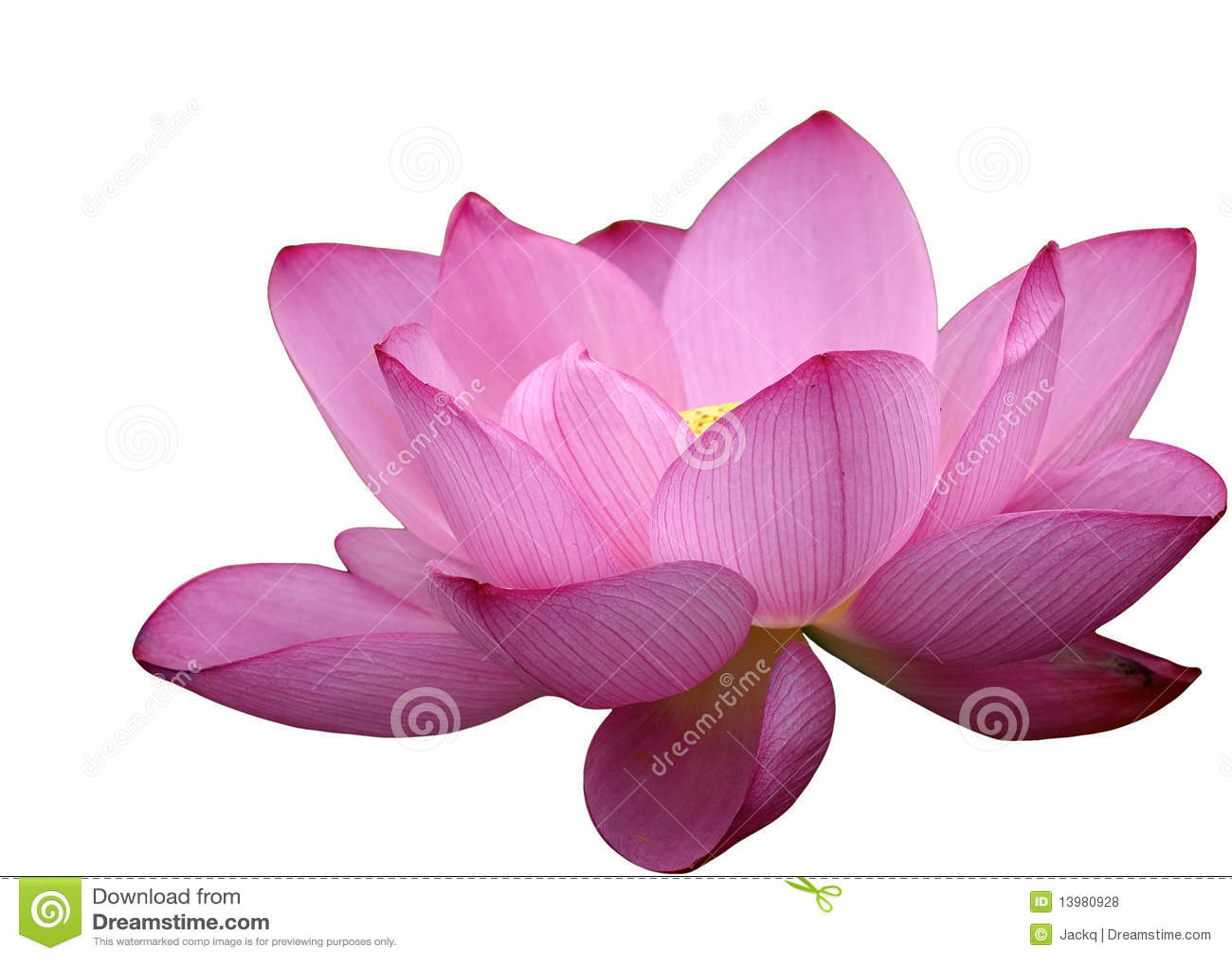 belle fleur de lotus photos libres de droits image 13980928. Black Bedroom Furniture Sets. Home Design Ideas
