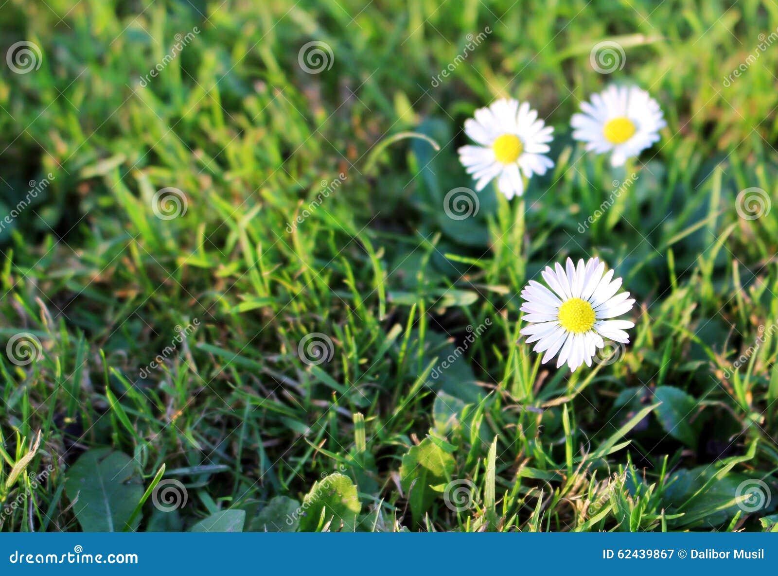 Belle fleur de marguerite blanche dans le jardin photo for Fleurs dans le jardin