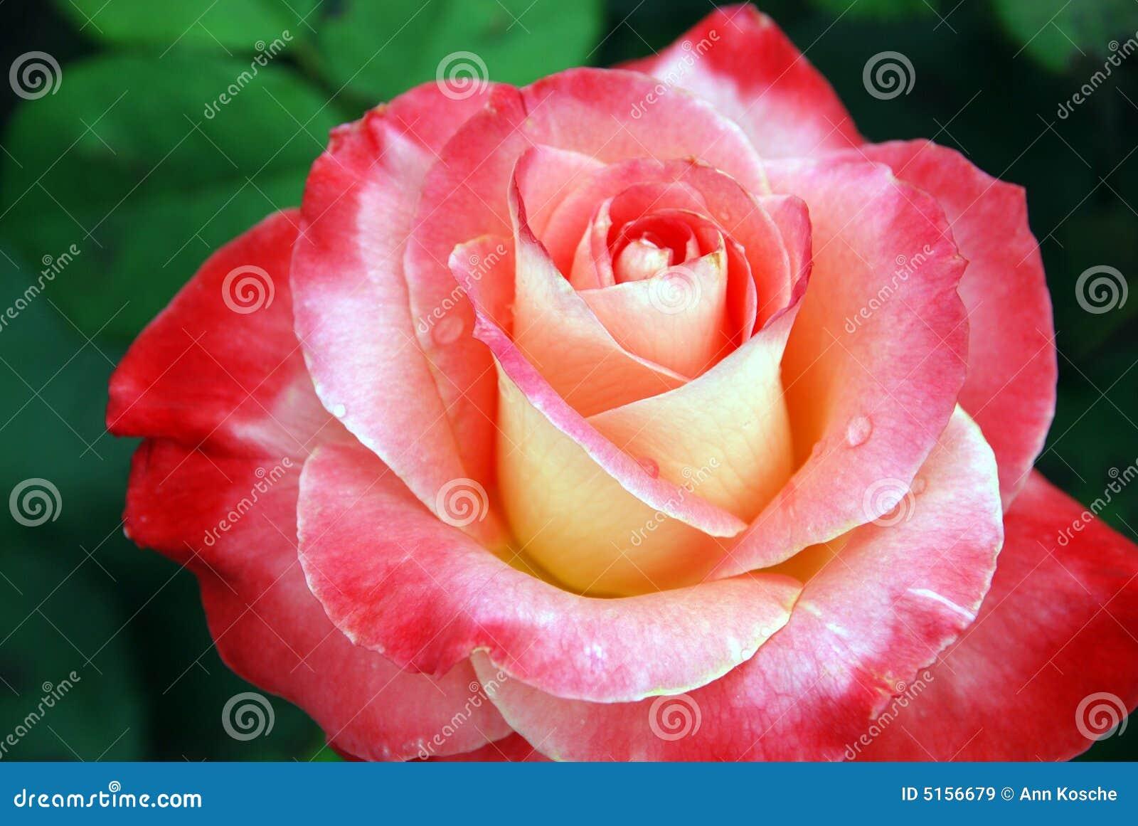 Belle Fleur De Rose Images Libres De Droits Image 5156679