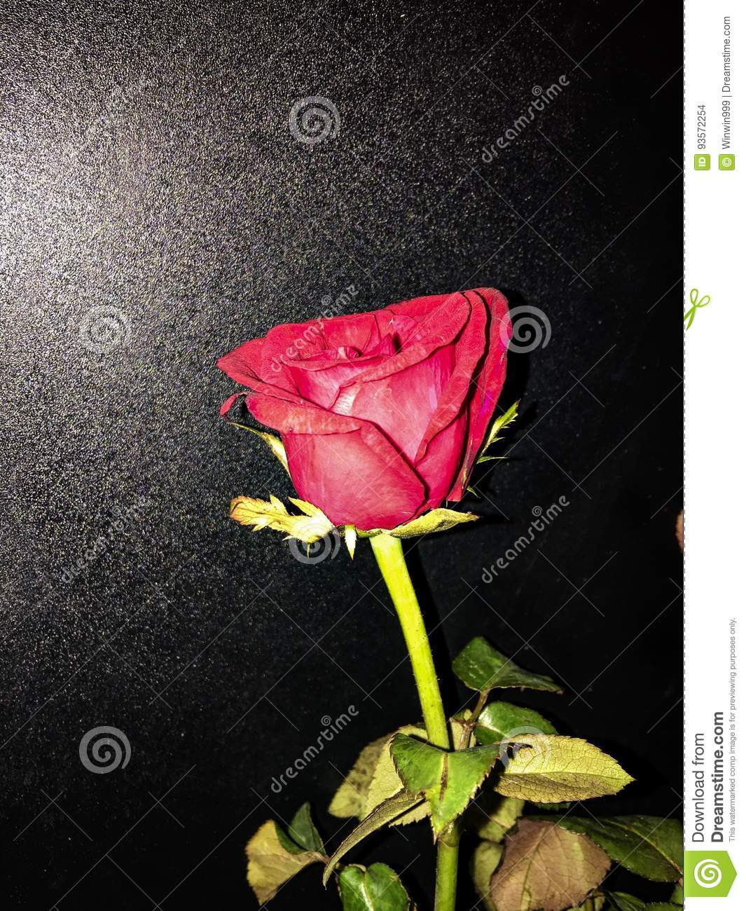 Belle Fleur De Rose D Angle Naturelle Pour L Amour Photo Stock