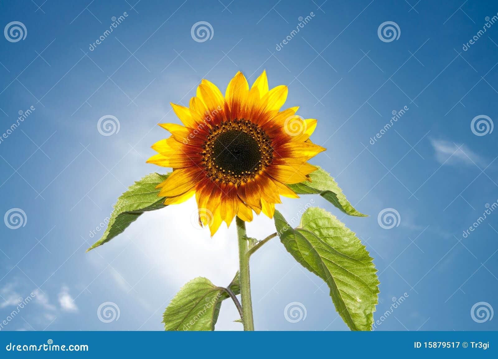 Belle fleur de tournesol contre le soleil lumineux photographie stock libre de droits image - Fleur du soleil ...