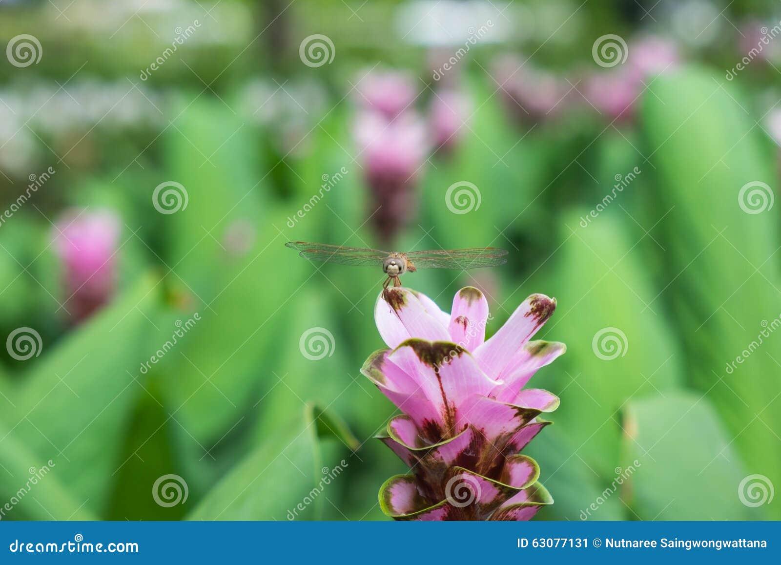 Download Belle Fleur De Tulipe Du Siam Dans Le Jardin Image stock - Image du journée, moite: 63077131