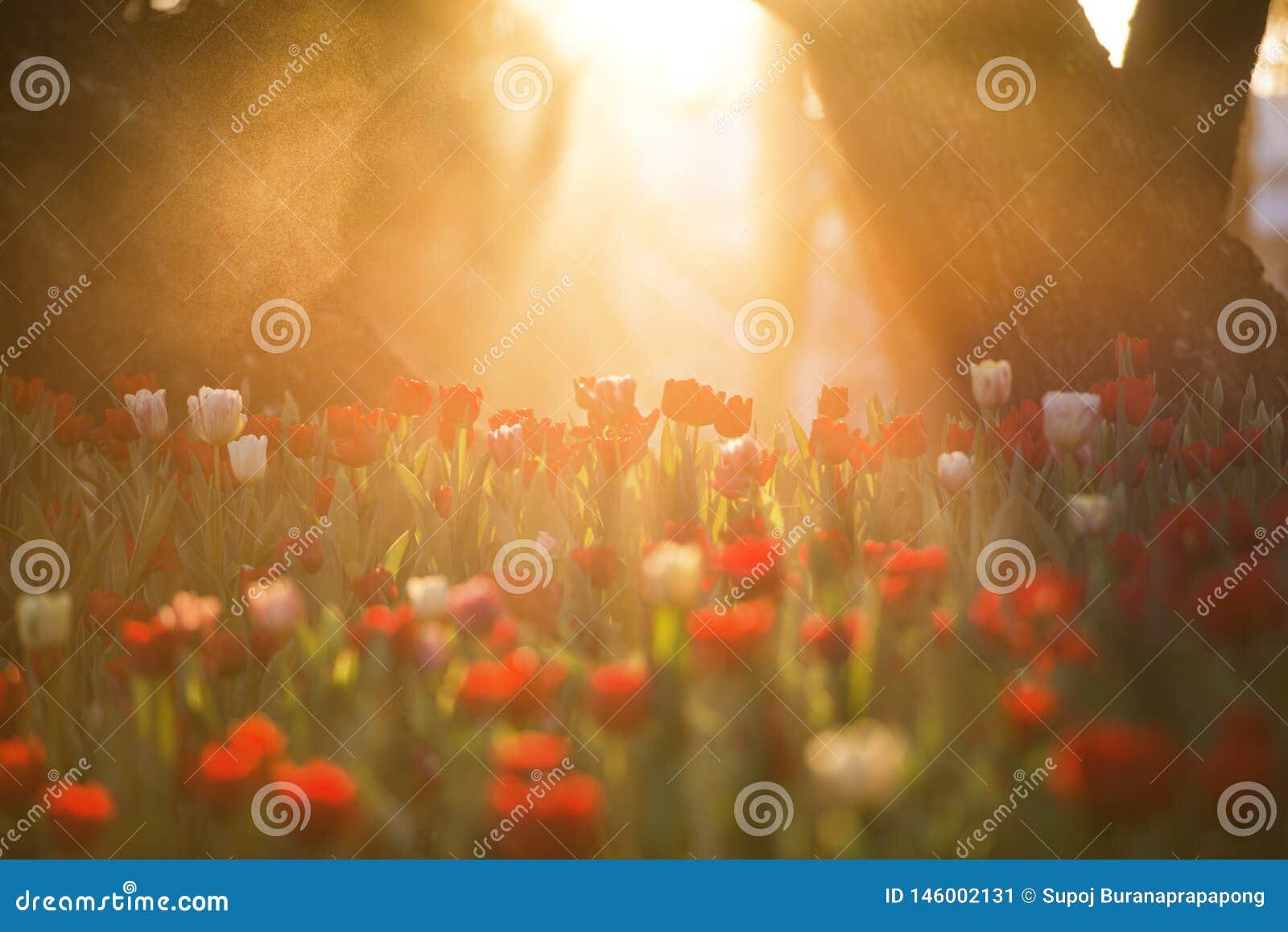 Belle fleur de tulipe sous le bouquet de lever de soleil de matin des tulipes Tulipes color?es Temps de tulipes au printemps
