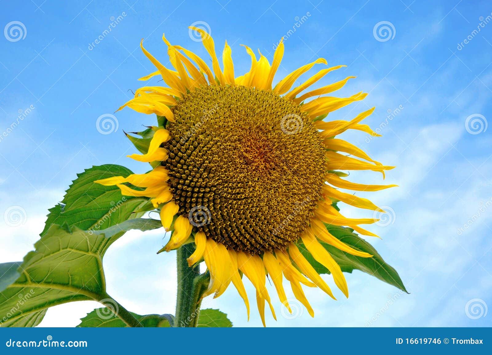 Belle fleur du soleil image libre de droits image 16619746 - Fleur du soleil ...