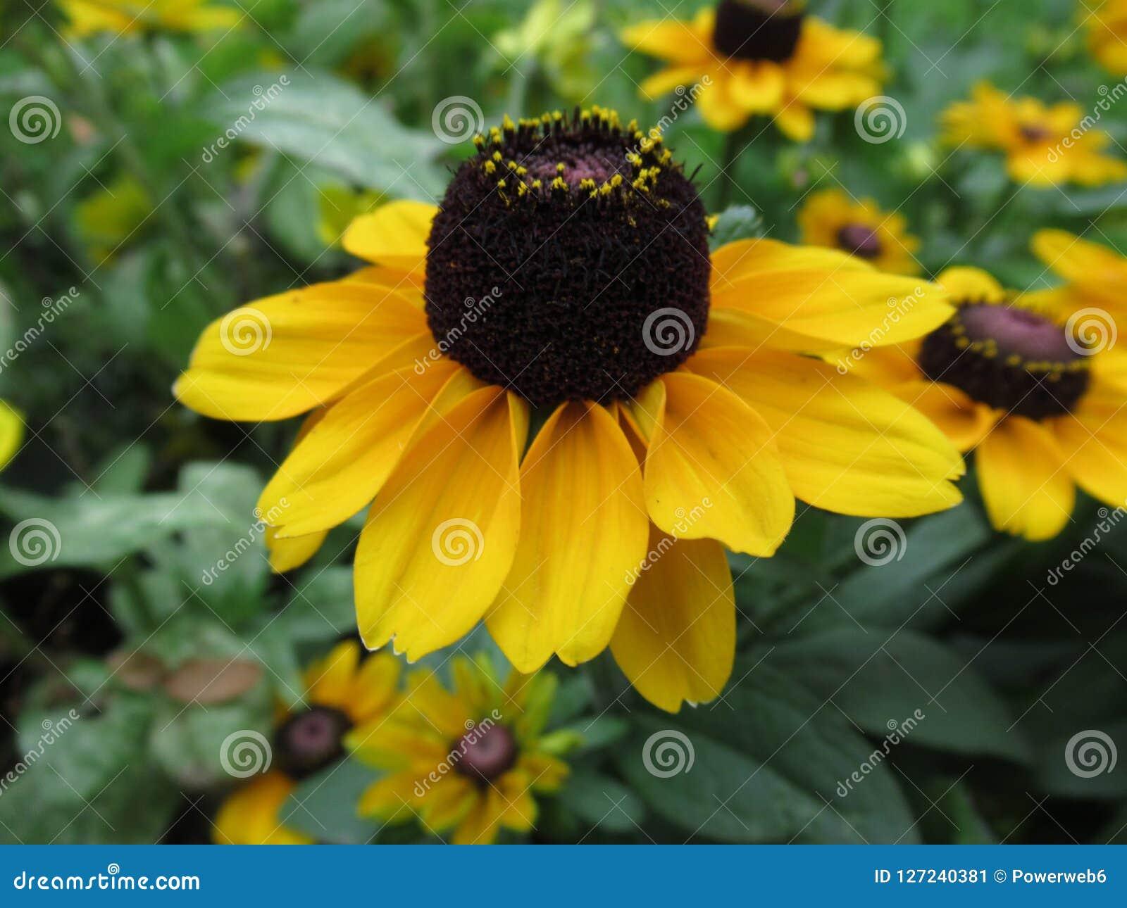 Belle fleur jaune de chapeau du soleil, pré de fleurs