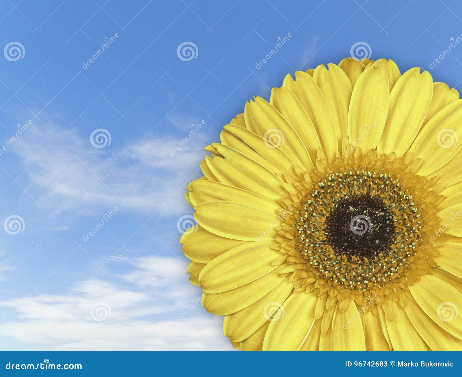 Belle Fleur Jaune De Fleur De Gerbera Sur Le Fond De Ciel Bleu Image