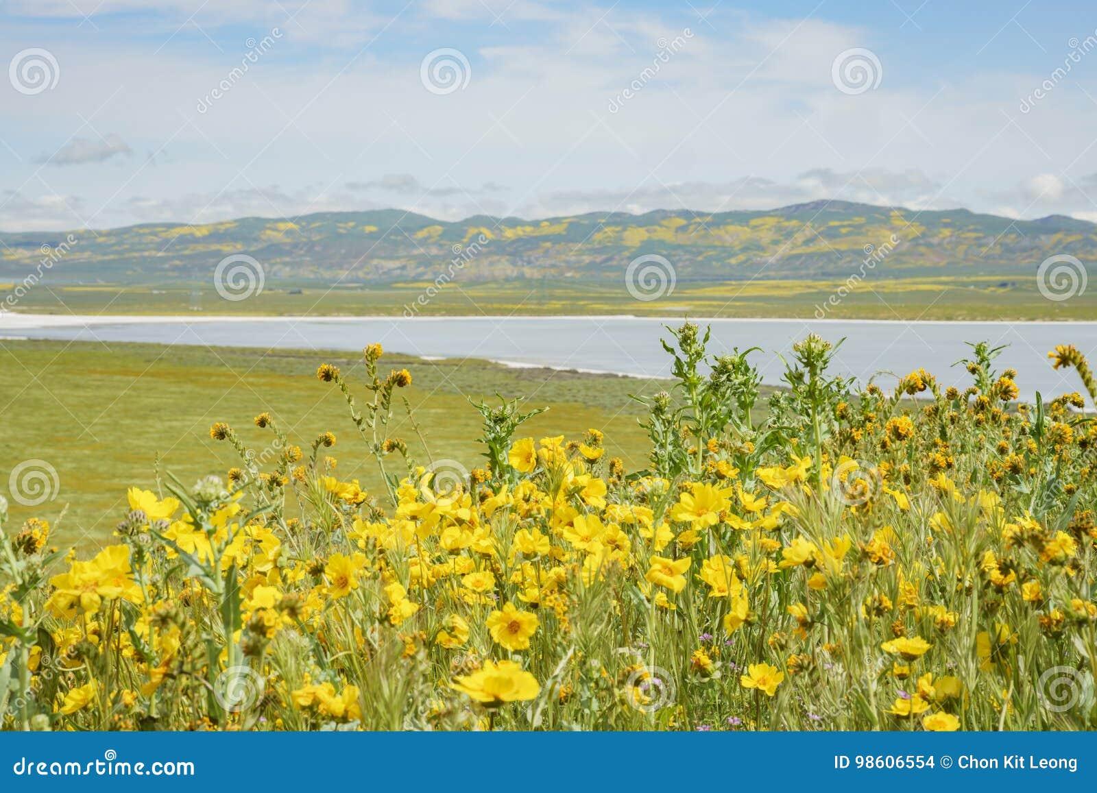 Belle fleur jaune de goldifelds avec le lac soda