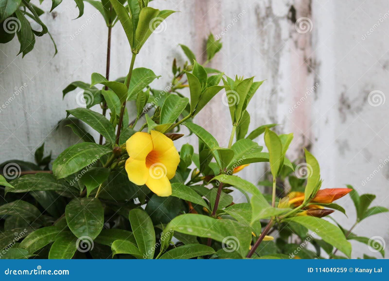 Belle fleur jaune foncée devant la maison du jardin bangladais