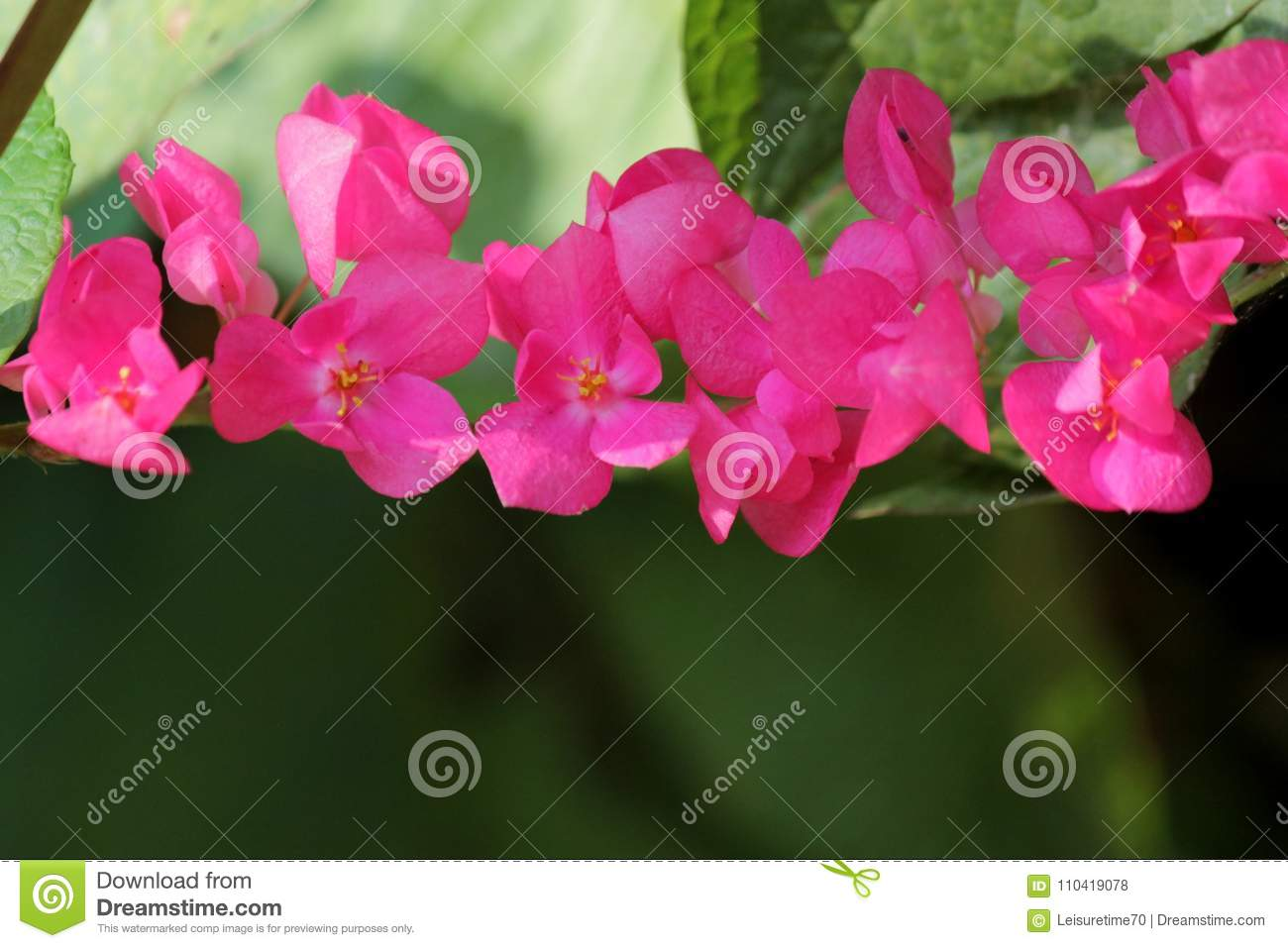 Belle Fleur Mexicaine Rose De Plante Grimpante Photo Stock Image