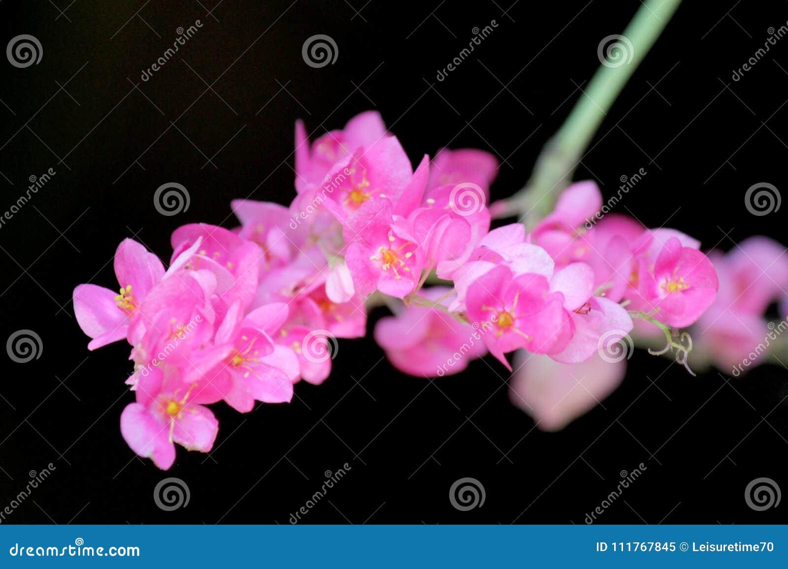 Belle Fleur Mexicaine Rose De Plante Grimpante Sur Le Fond Noir
