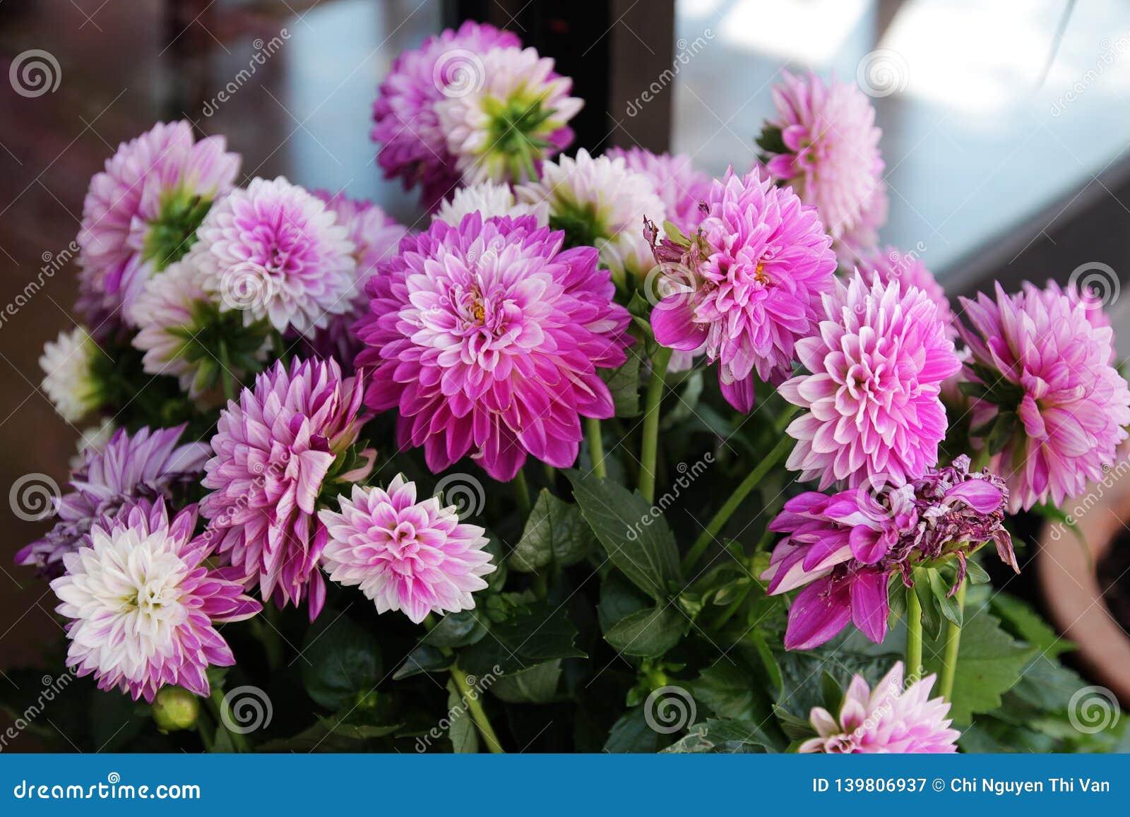 Belle Fleur Rose De Dahlia Image Stock Image Du Ville