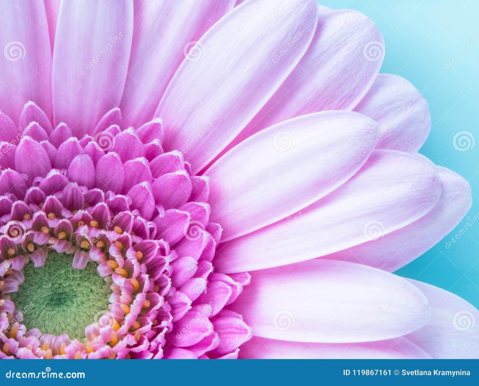 Belle Fleur Rose De Gerbera En Macro Plan Rapproche Papier Peint