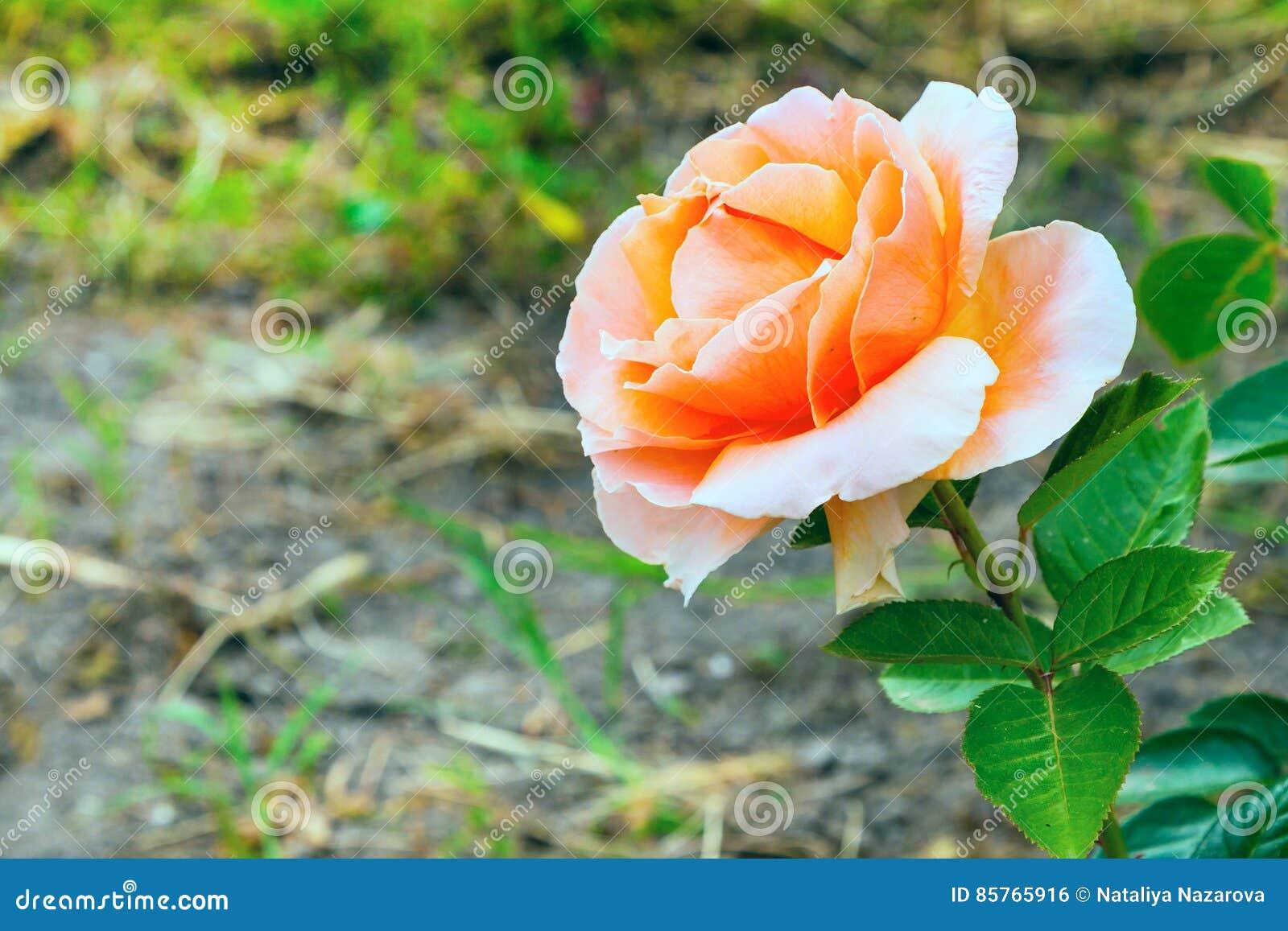 Belle fleur rose en gros plan carte de joyeux for Fleurs en gros