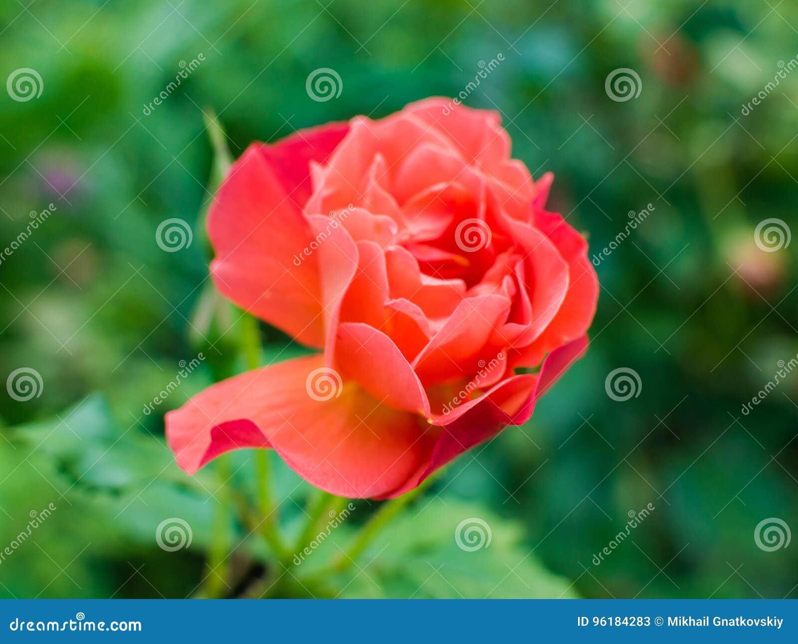 Belle Fleur Rose Rouge Clair Image Stock Image Du Fleur