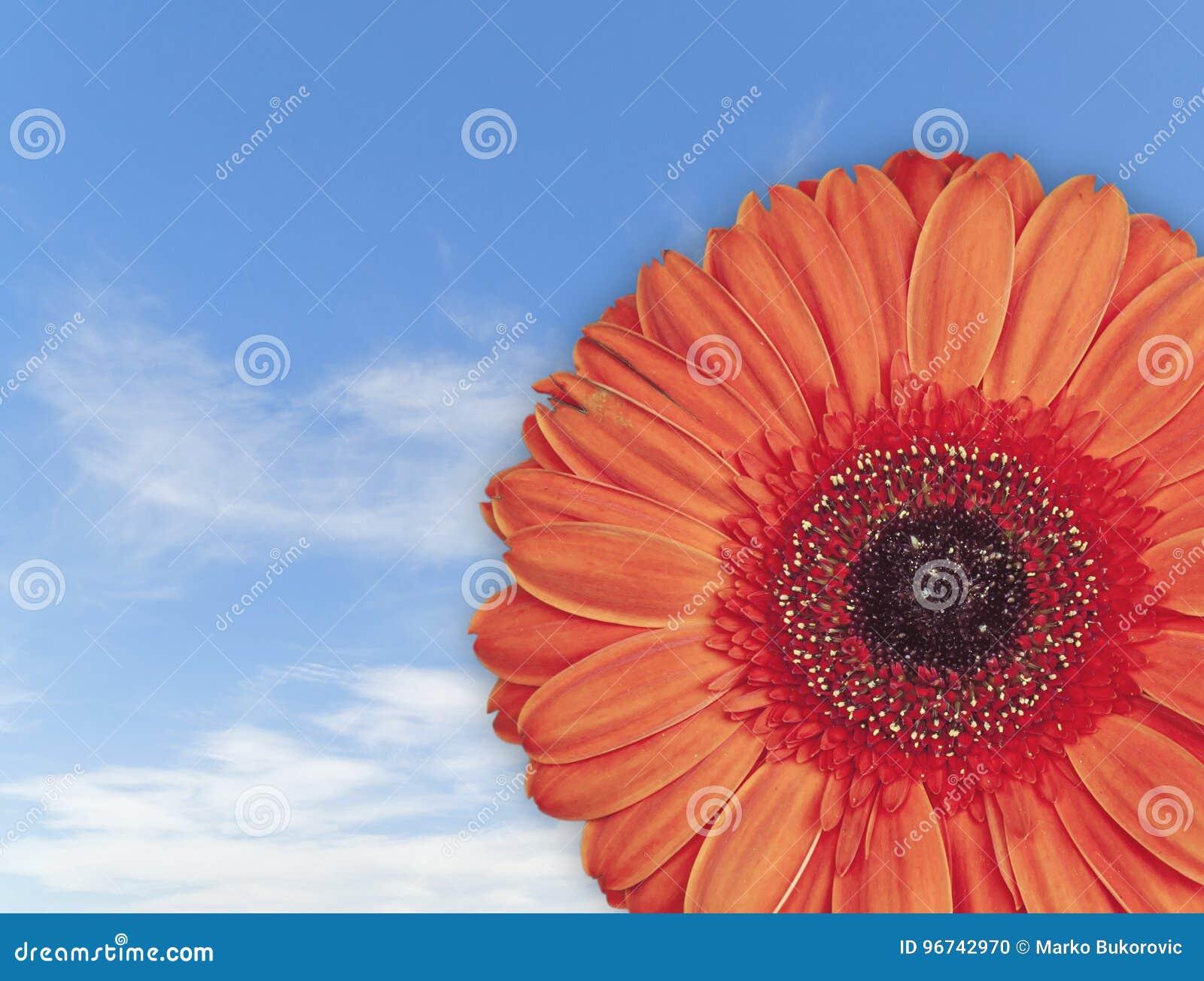 Belle Fleur Rouge De Fleur De Gerbera Sur Le Fond De Ciel Bleu Photo