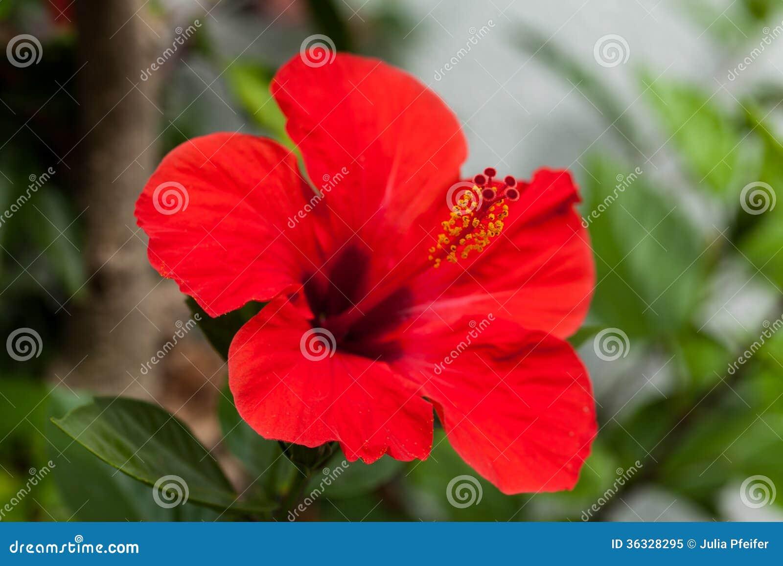 Belle Fleur Rouge De Ketmie En Ete Exterieur Image Stock Image Du