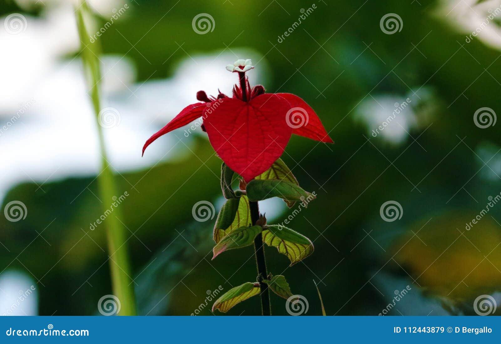 Belle Fleur Rouge De Passion Fleur Magnifique D Usine Dans La