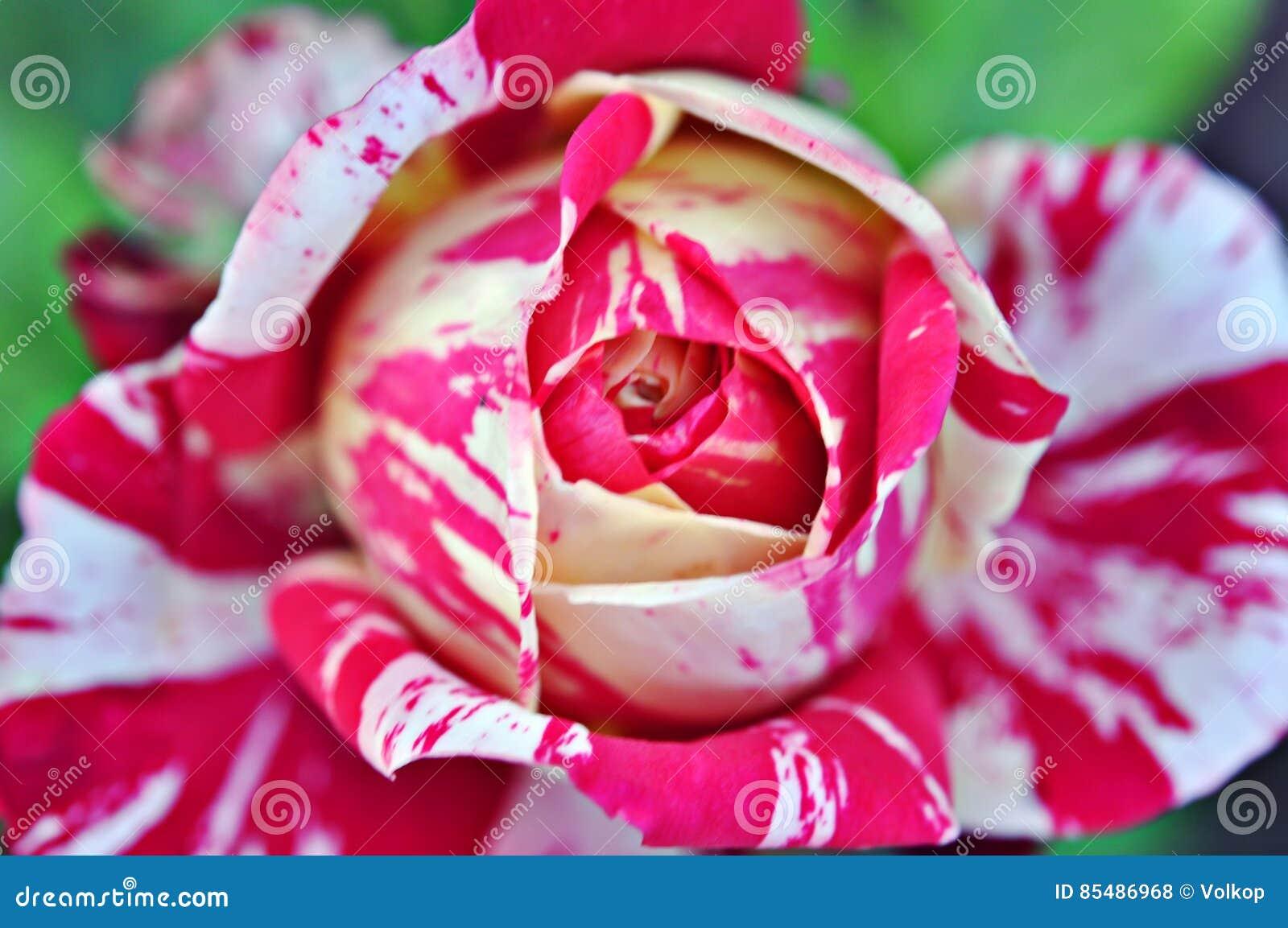 Belle Fleur Rouge Et Blanche De Rose Photo Stock Image Du Bourgeon