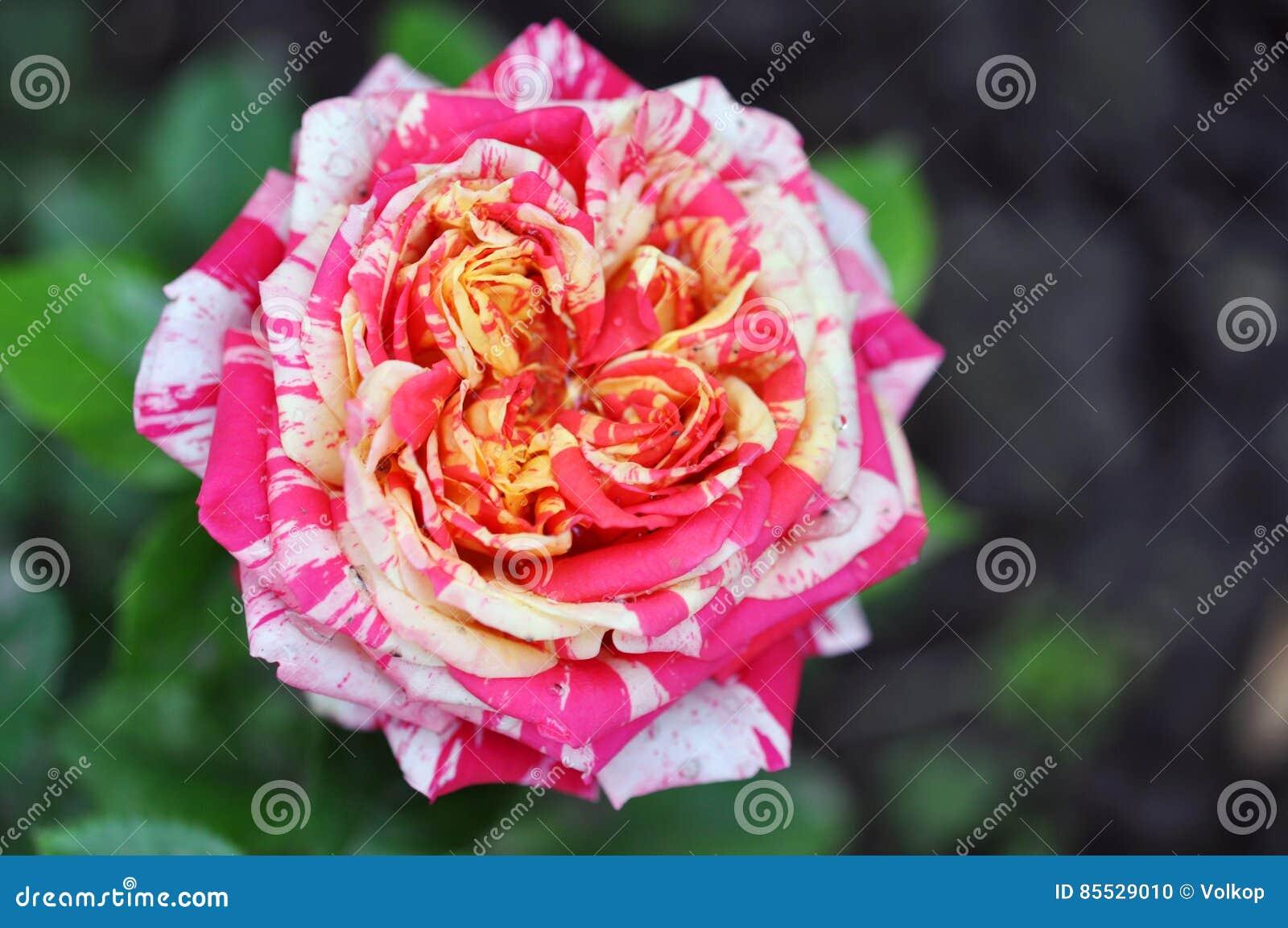 Belle Fleur Rouge Et Blanche De Rose Photo Stock Image Du Beaute