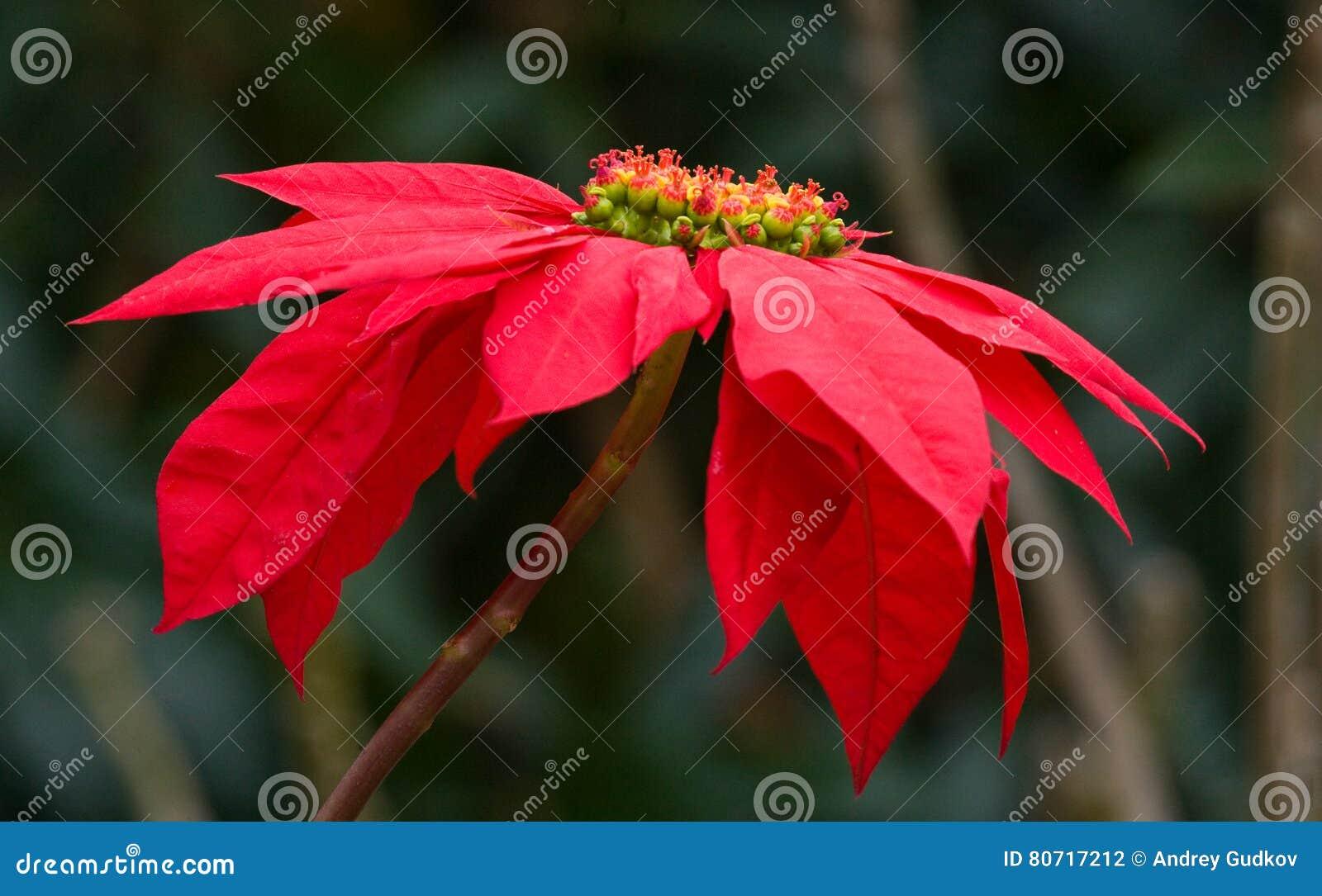 Belle Fleur Rouge Tropicale Madagascar Photo Stock Image Du