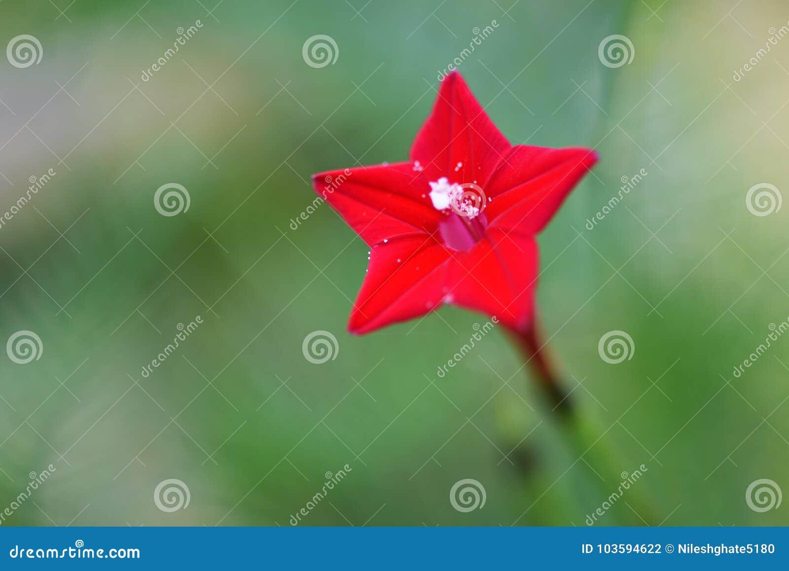 Belle Fleur Rouge Unique D Etoile Photo Stock Image Du Pour Fleur