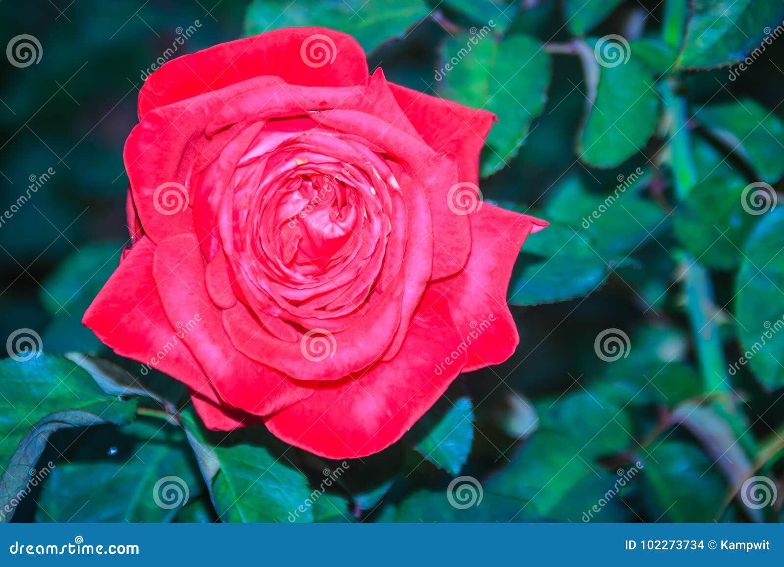 Belle fleur simple de rose de rouge sur la branche verte dans le jardin