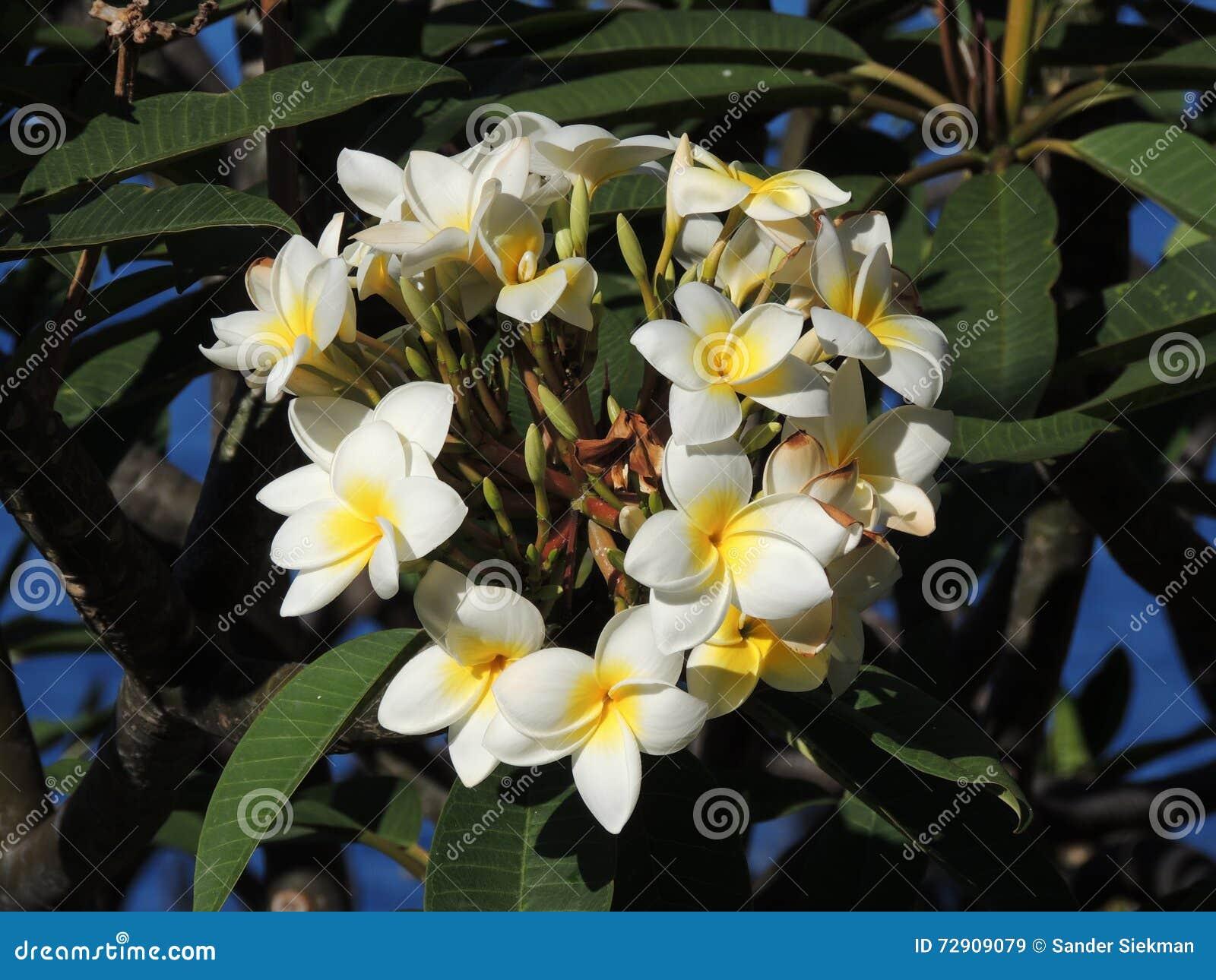 Belle Fleur Tropicale Blanche Image Stock Image Du Espagne Europe