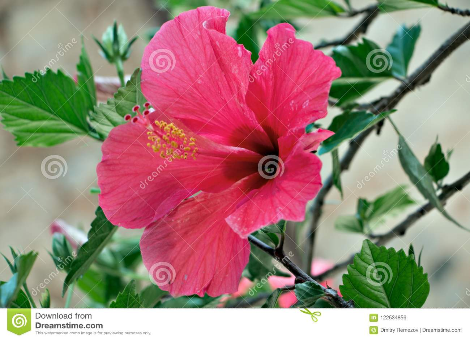 Belle floraison de magnolia