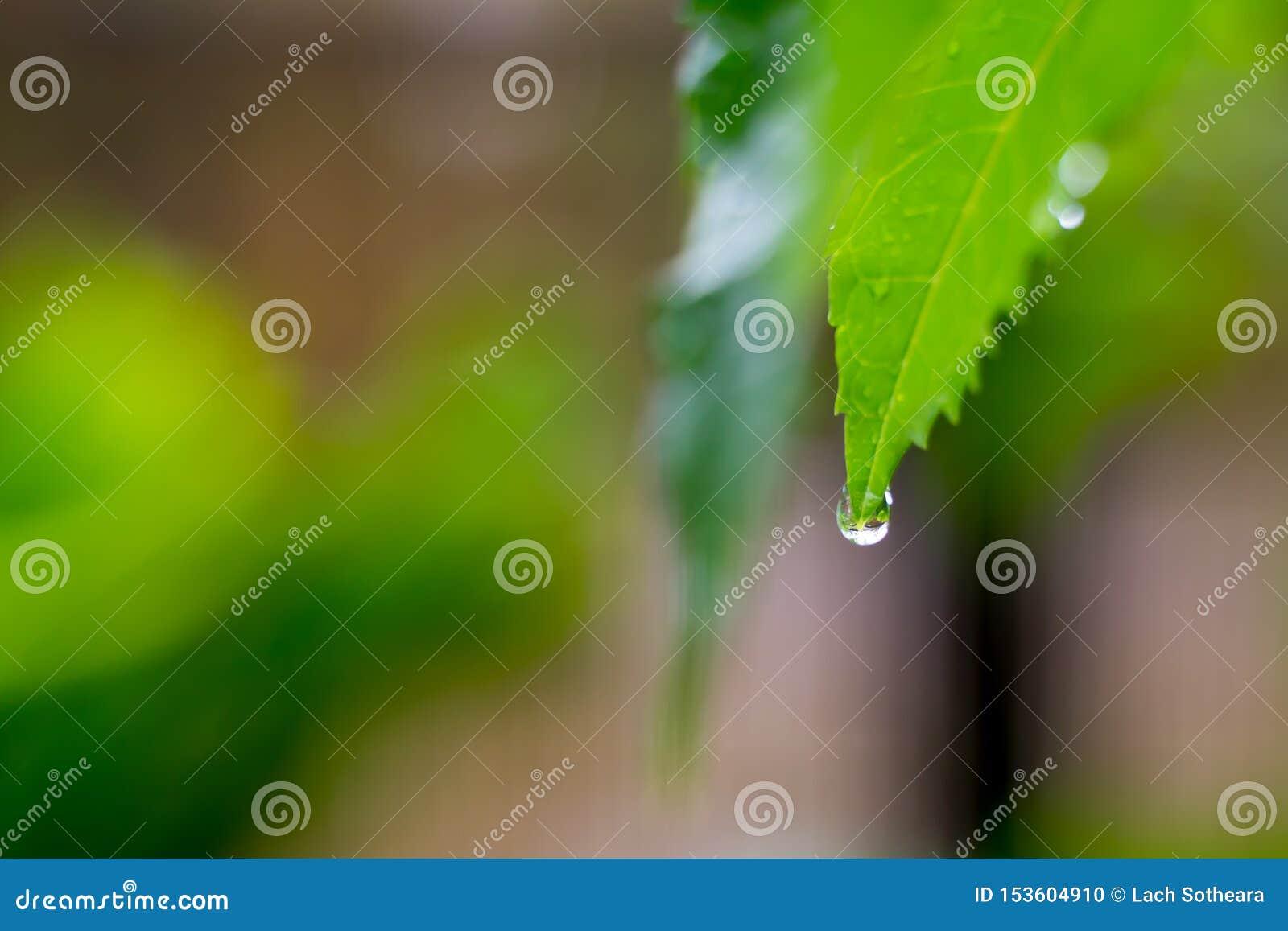 Belle gocce dell acqua piovana trasparente sulla macro verde della foglia Molte gocce di rugiada nella mattina in sole Bella stru