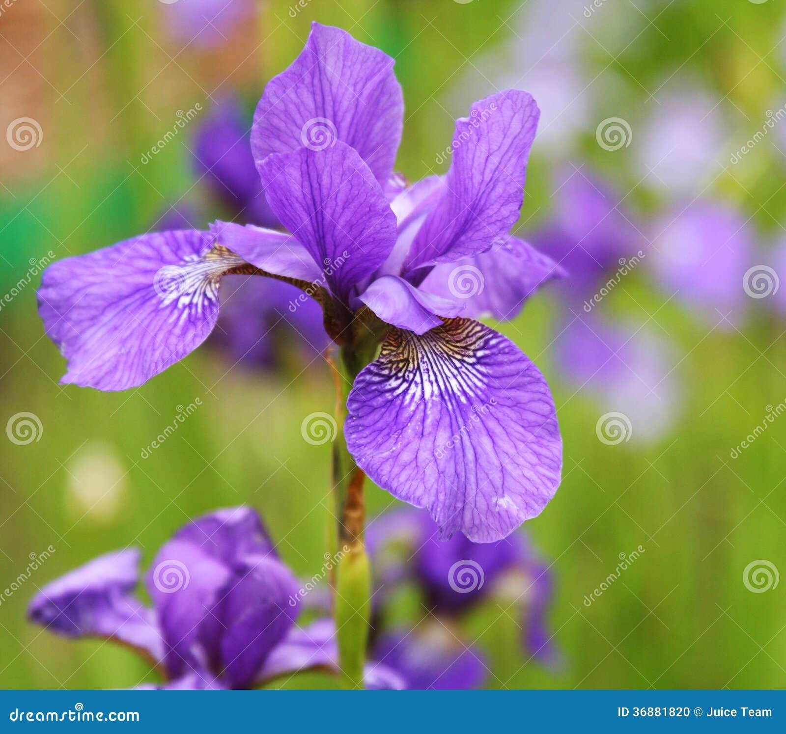 Download Belle iridi luminose fotografia stock. Immagine di botanica - 36881820