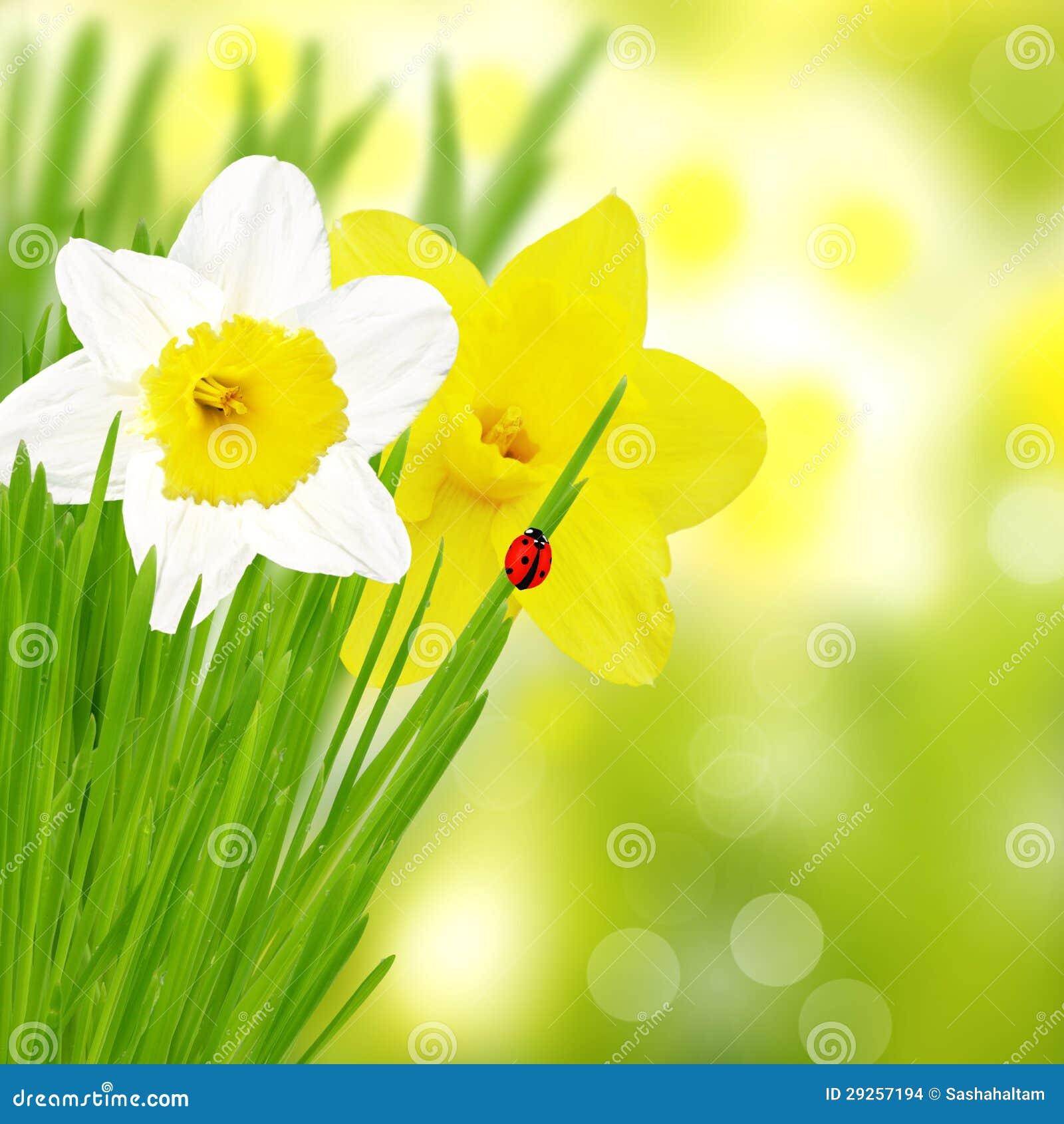 Belle jonquille blanche et jaune images stock image 29257194 for Chambre jaune et blanche