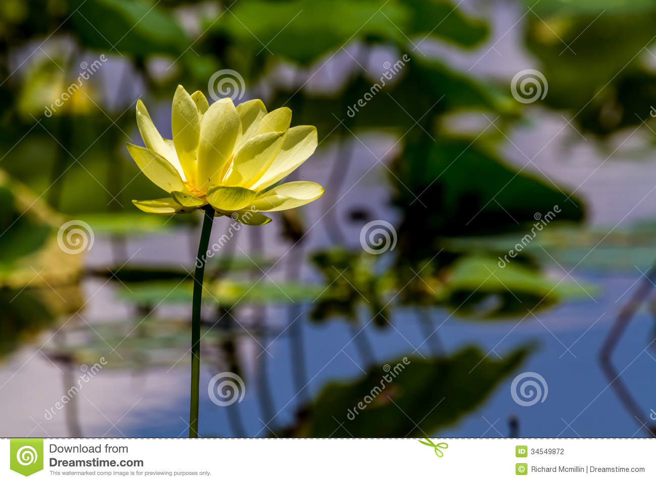 Belle Lotus Wildflower jaune de floraison