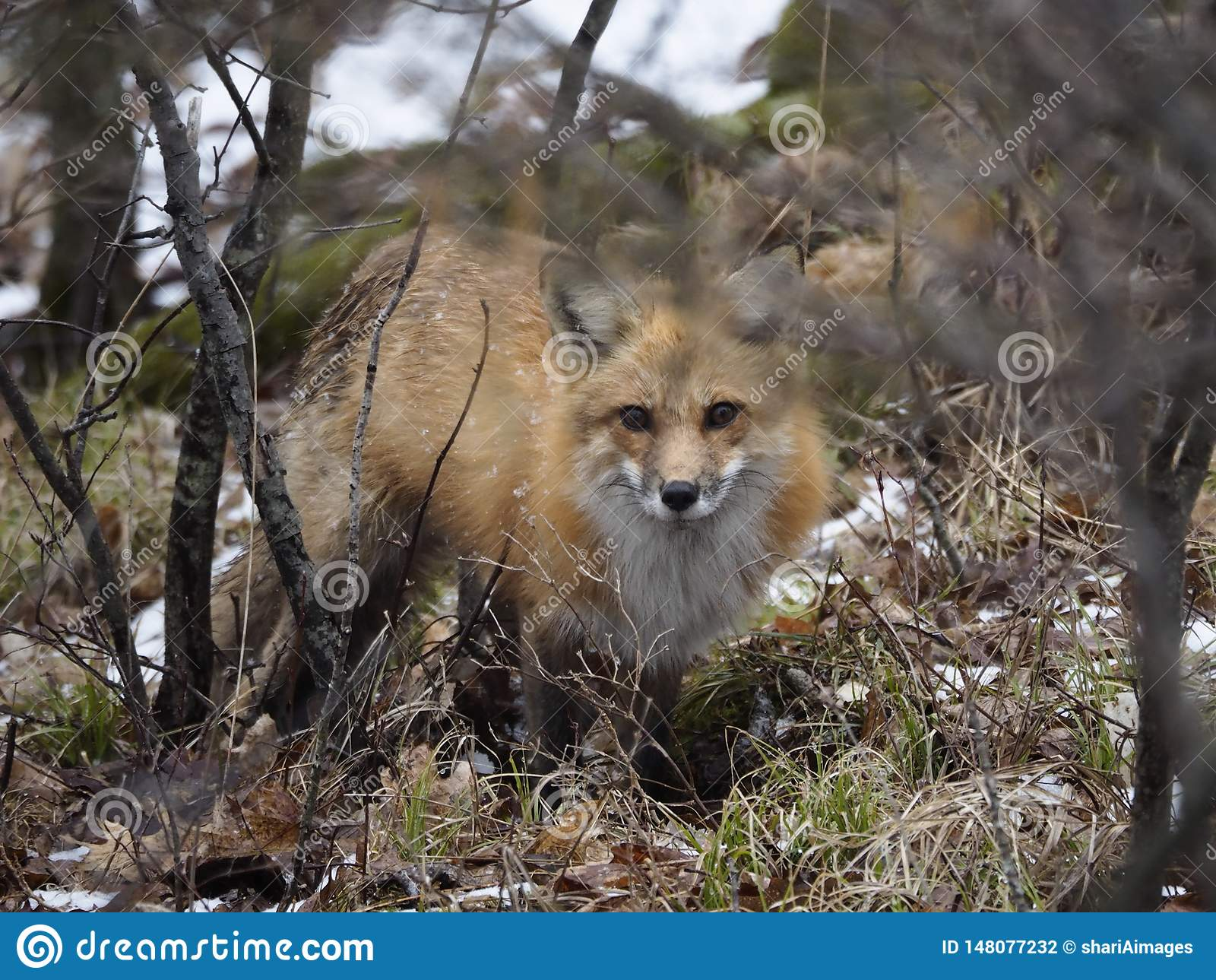 Belle, mais attentive chasse de Fox rouge