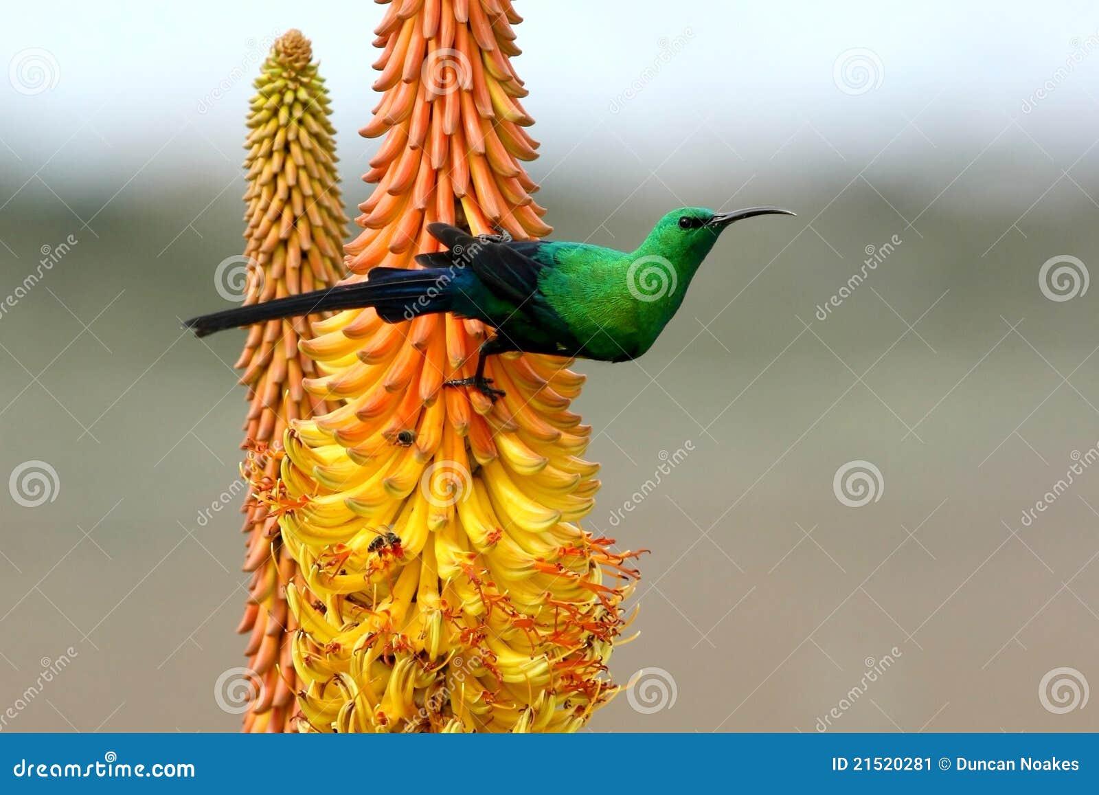 Belle malachite Sunbird
