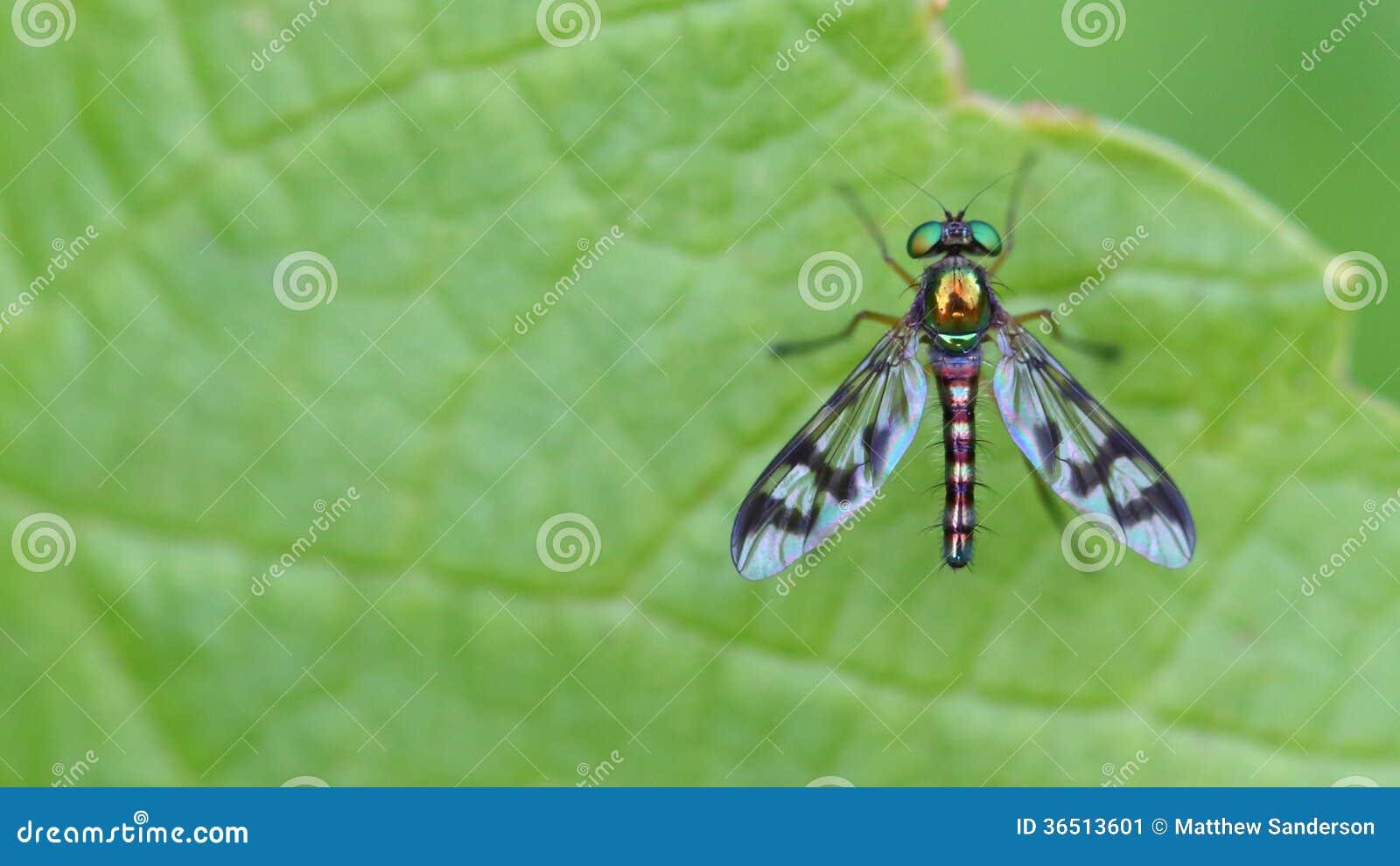 Belle mouche métallique avec les ailes rayées