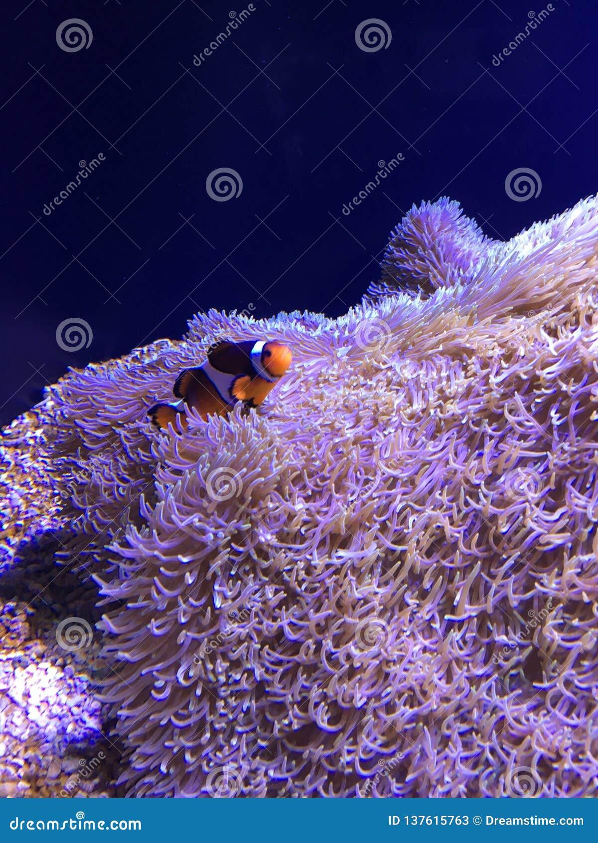 Belle natation de Clownfish sur l anémone de tapis