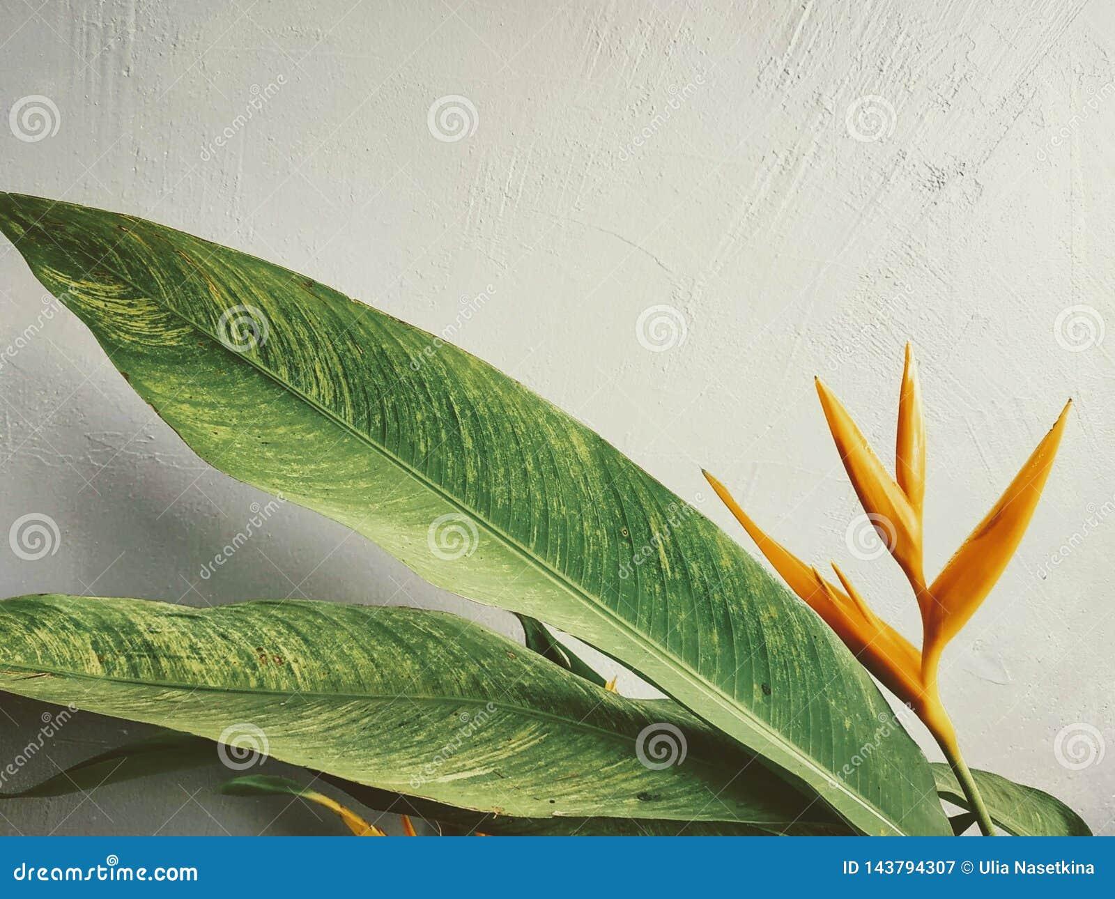 Belle, orange fleur tropicale contre un mur blanc