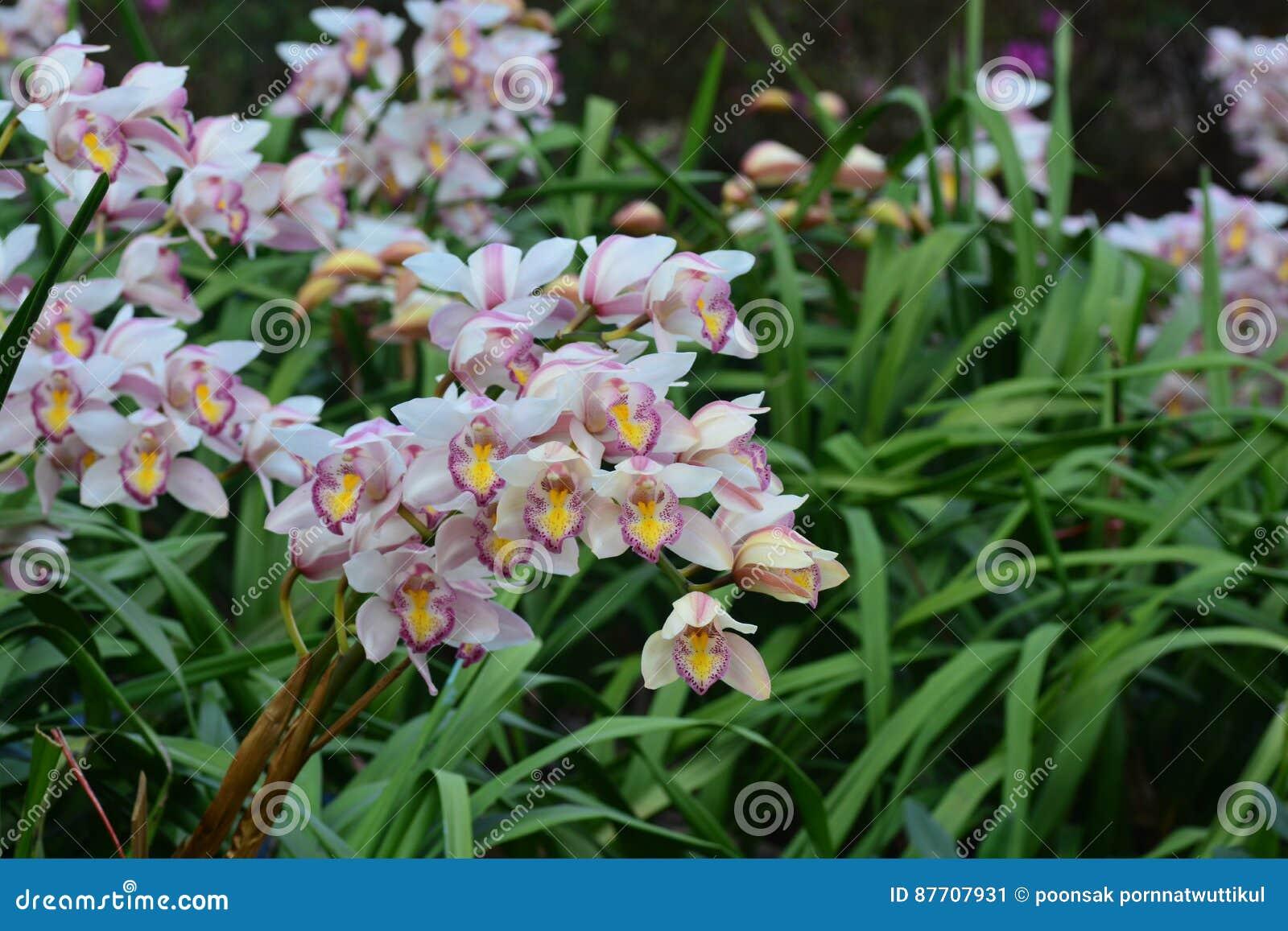 Belle orchidée blanche de fleur de cymbidium dans le jardin